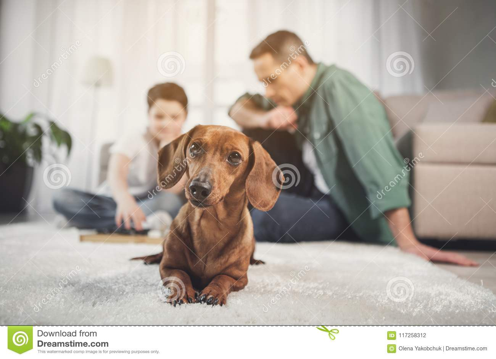 Chiot brun curieux se trouvant sur le tapis près des propriétaires