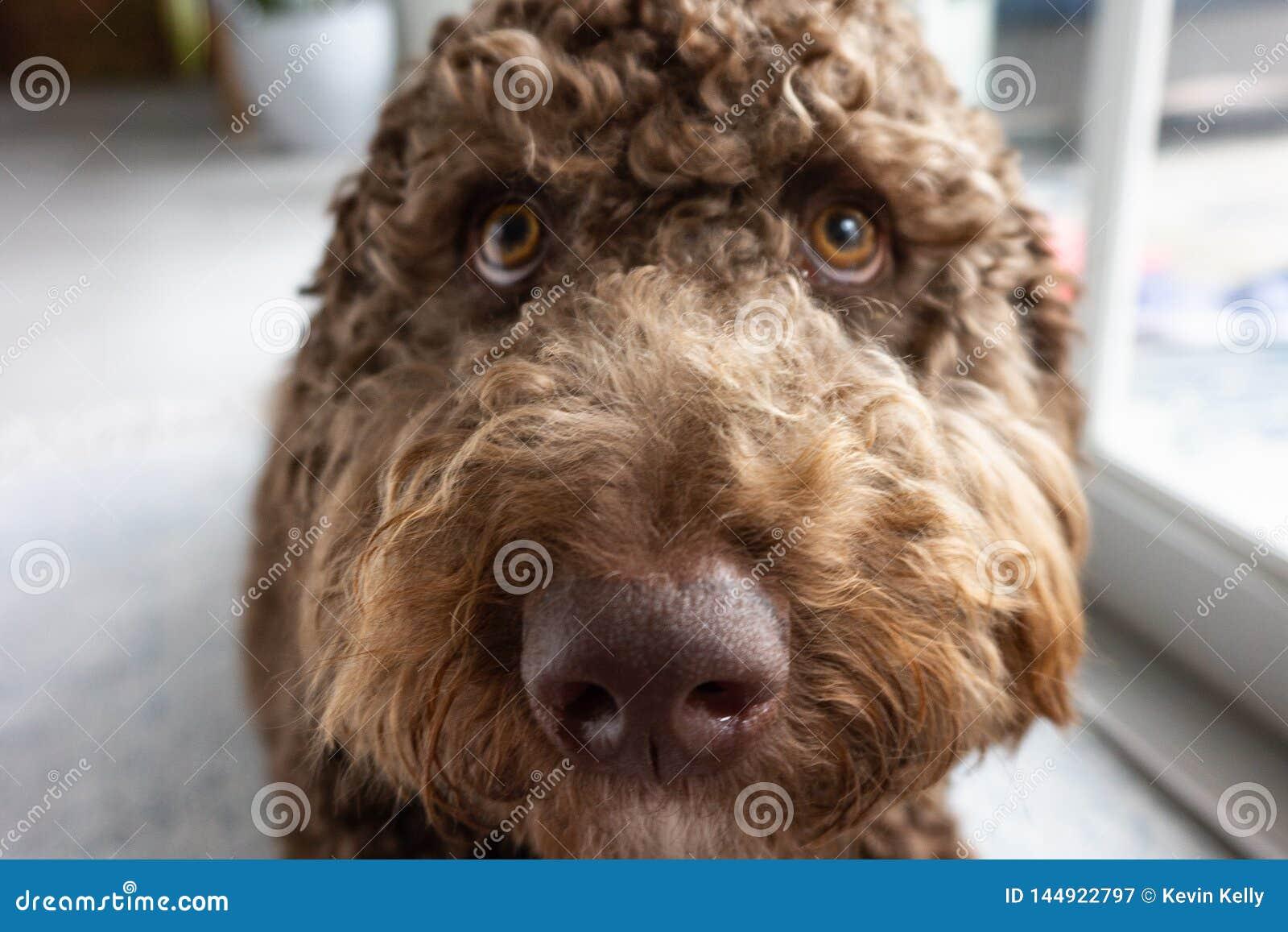 Chiot brun de labradoodle de chocolat