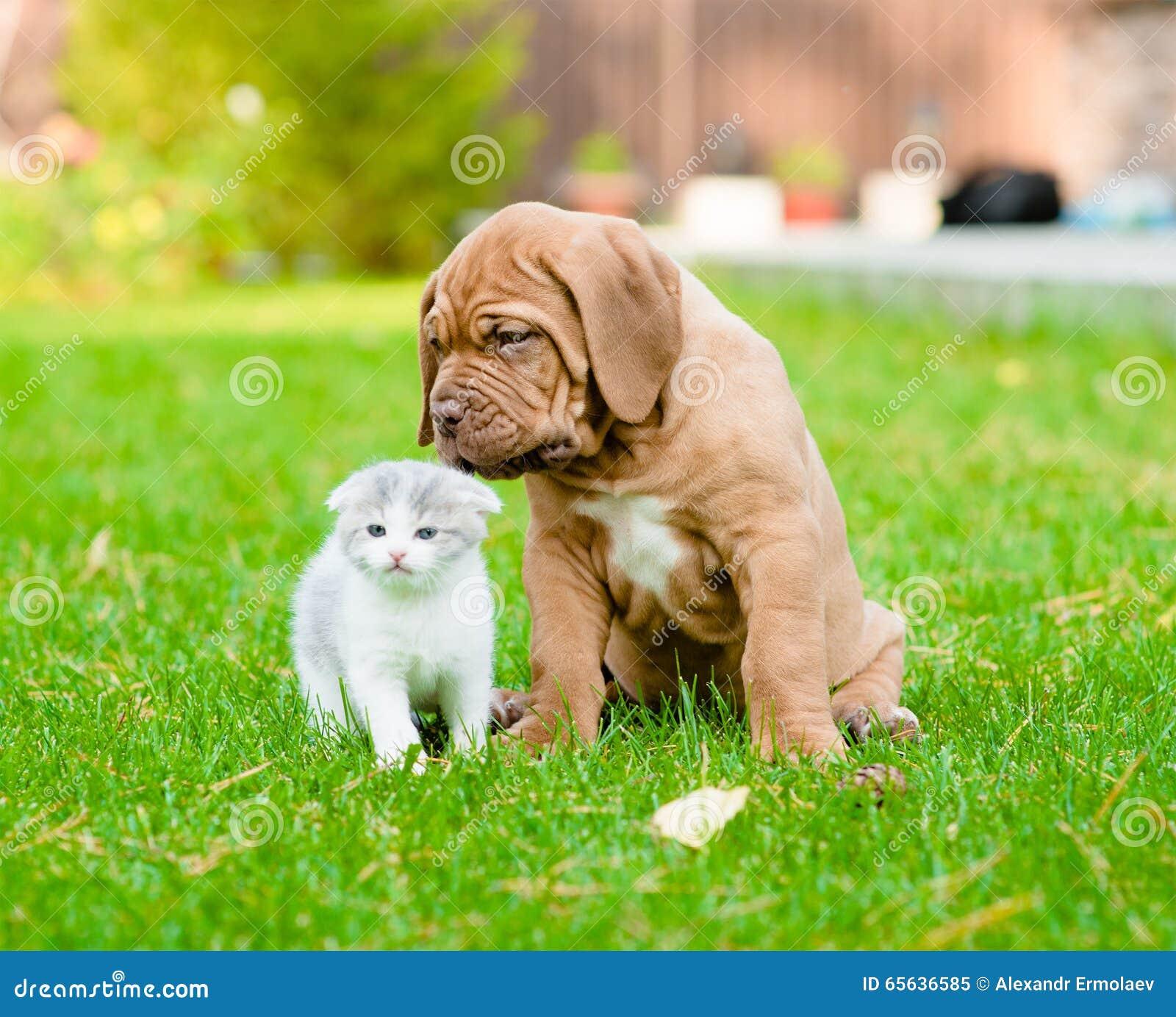 Chiot de Bordeaux reniflant le chaton nouveau-né sur l herbe verte