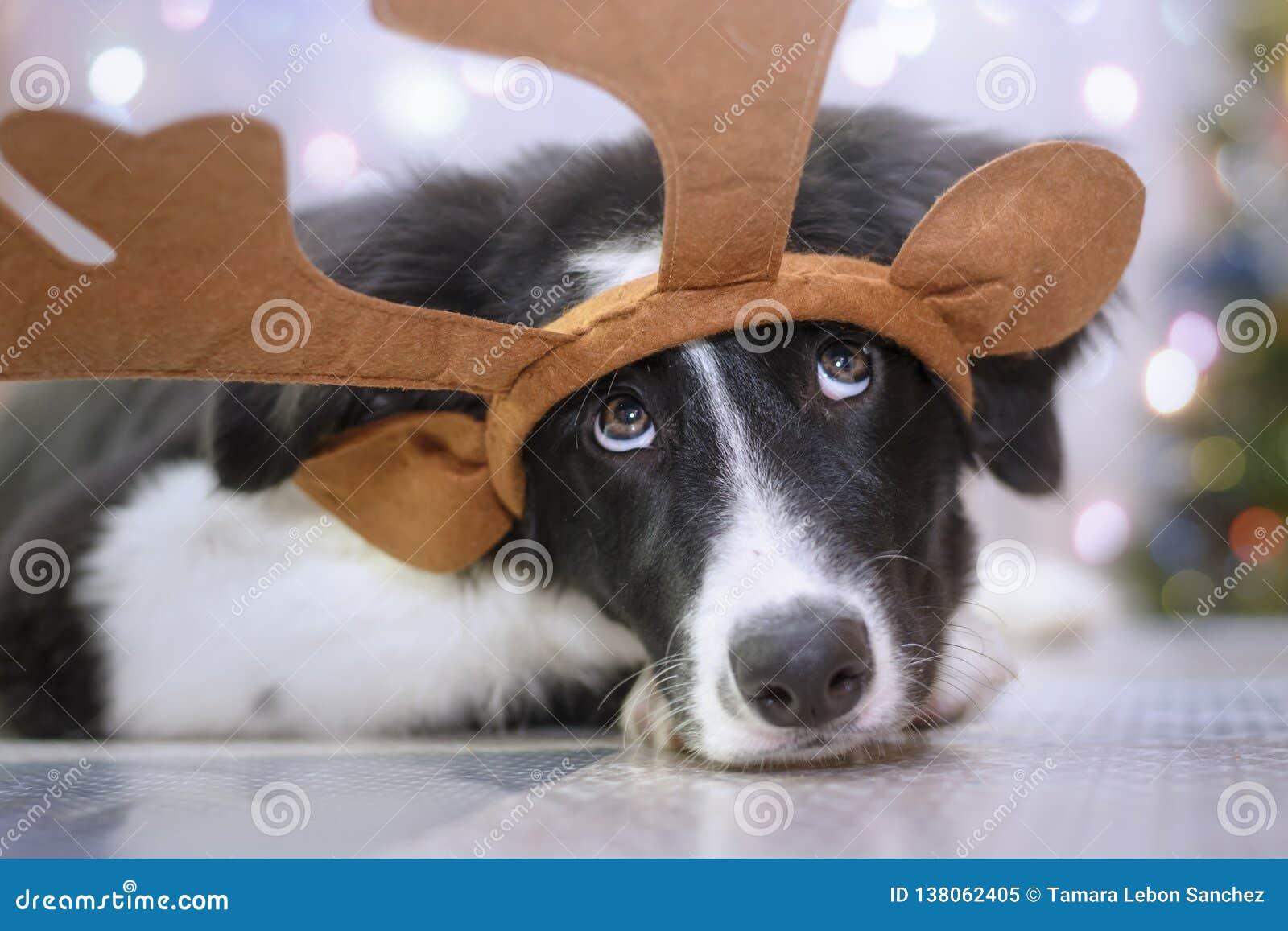Chiot de border collie avec des andouillers de renne dans un portrait drôle de Noël