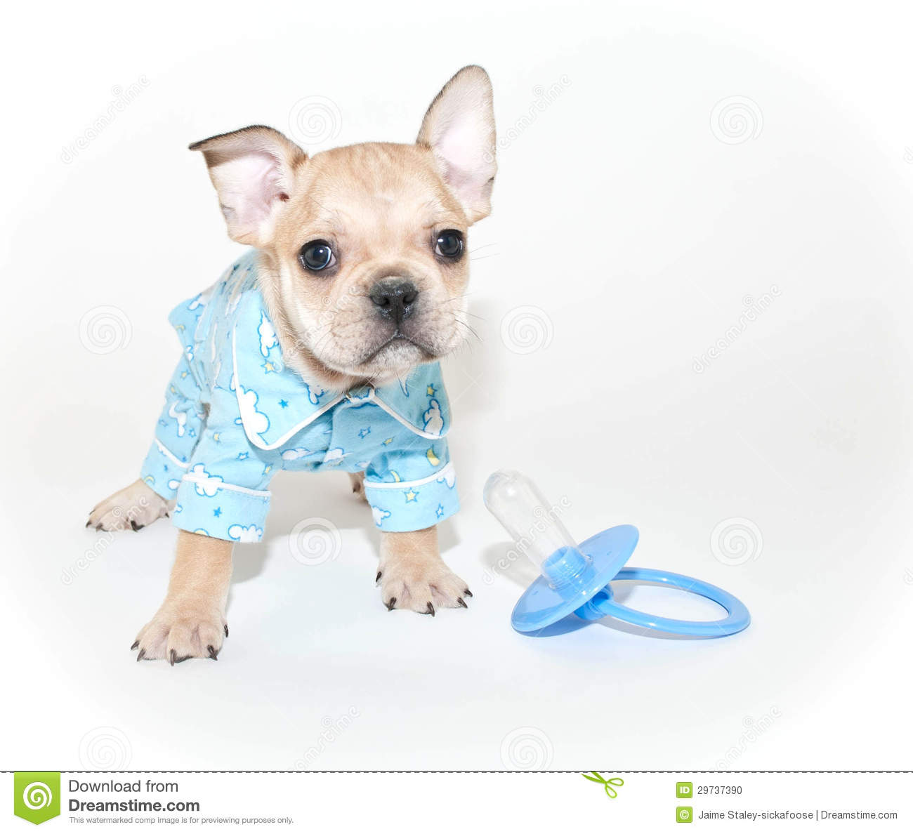 Pyjamas De Port De Chiot De Bouledogue Français Photo