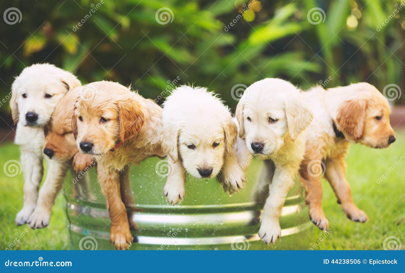 Chiot de chien d arrêt d or