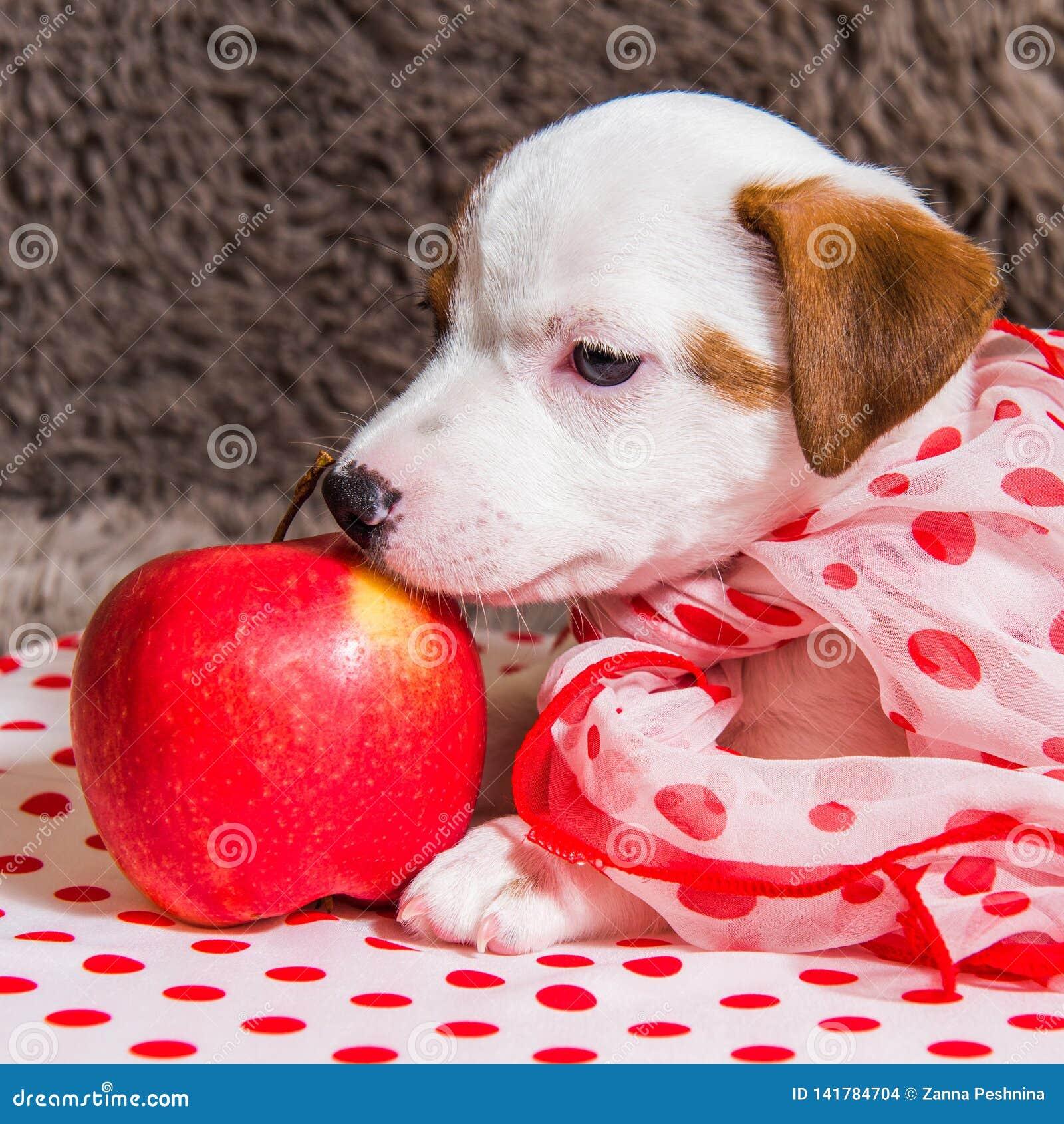 Chiot de Jack Russell Terrier avec la pomme rouge