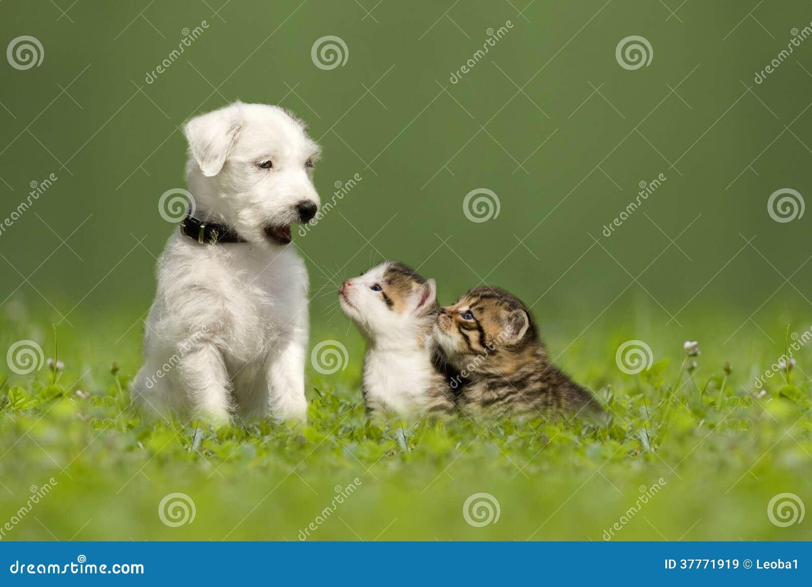 Chiot de Jack Russell Terrier de pasteur avec deux petits chatons