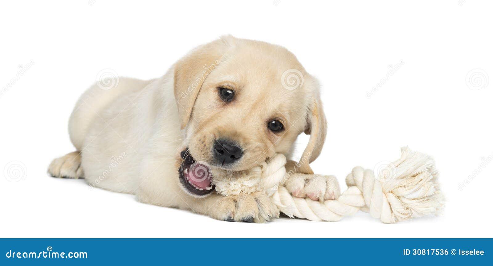 Chiot De Labrador Retriever, 2 Mois, Se Trouvant Et
