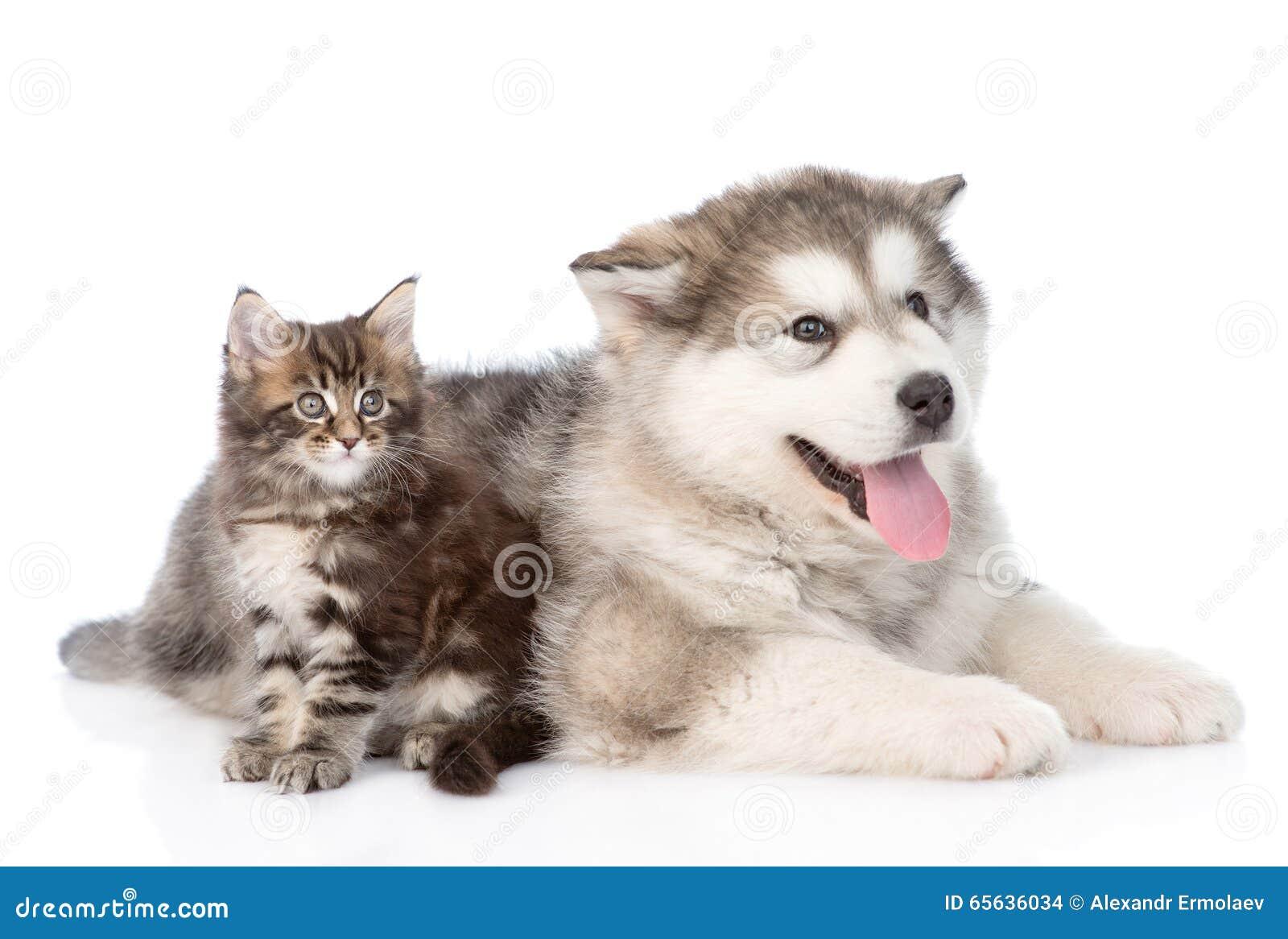 Chiot de malamute d Alaska avec le chaton de ragondin du Maine ensemble D isolement