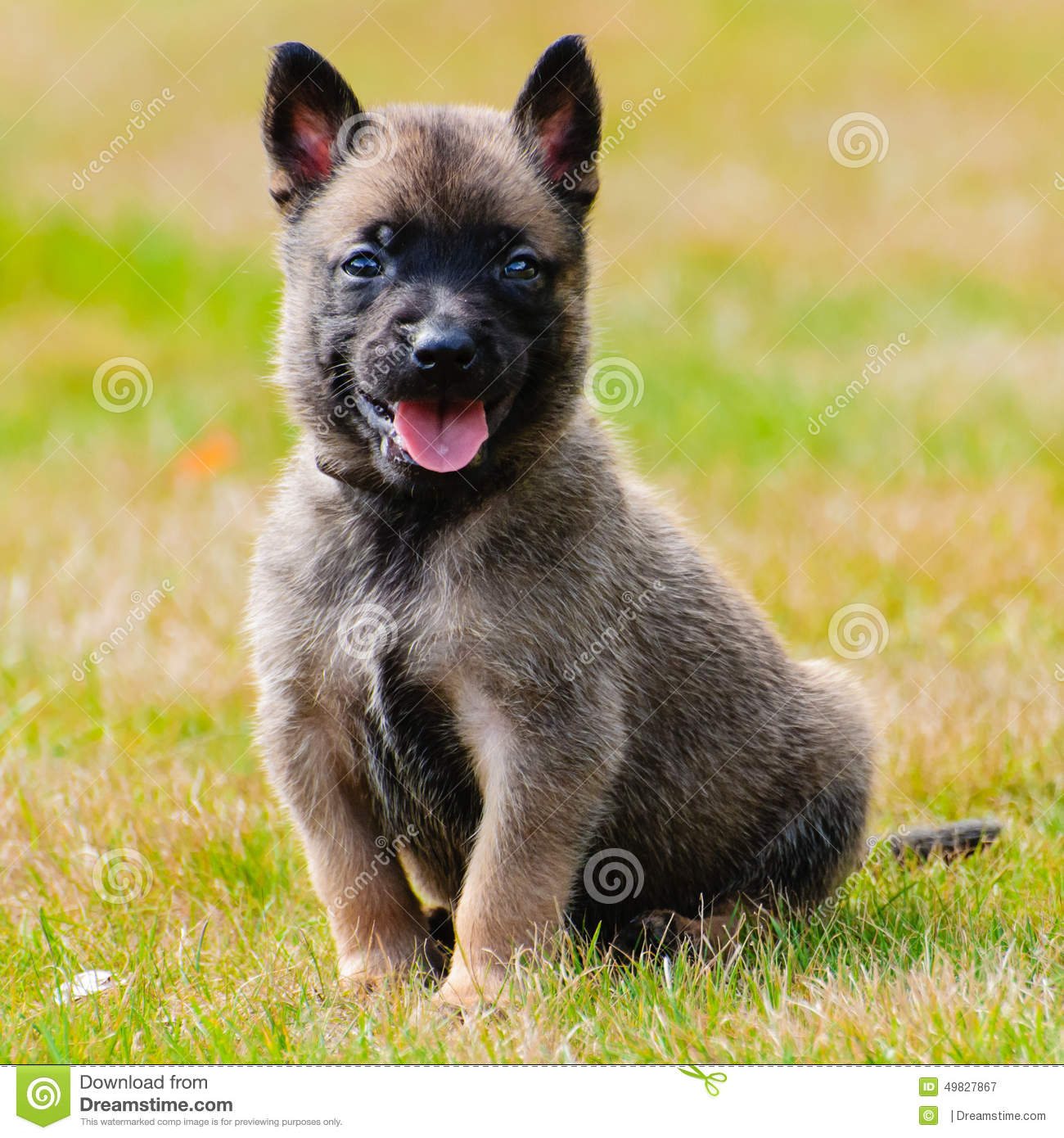 Chiot De Malinois Photo stock - Image: 49827867