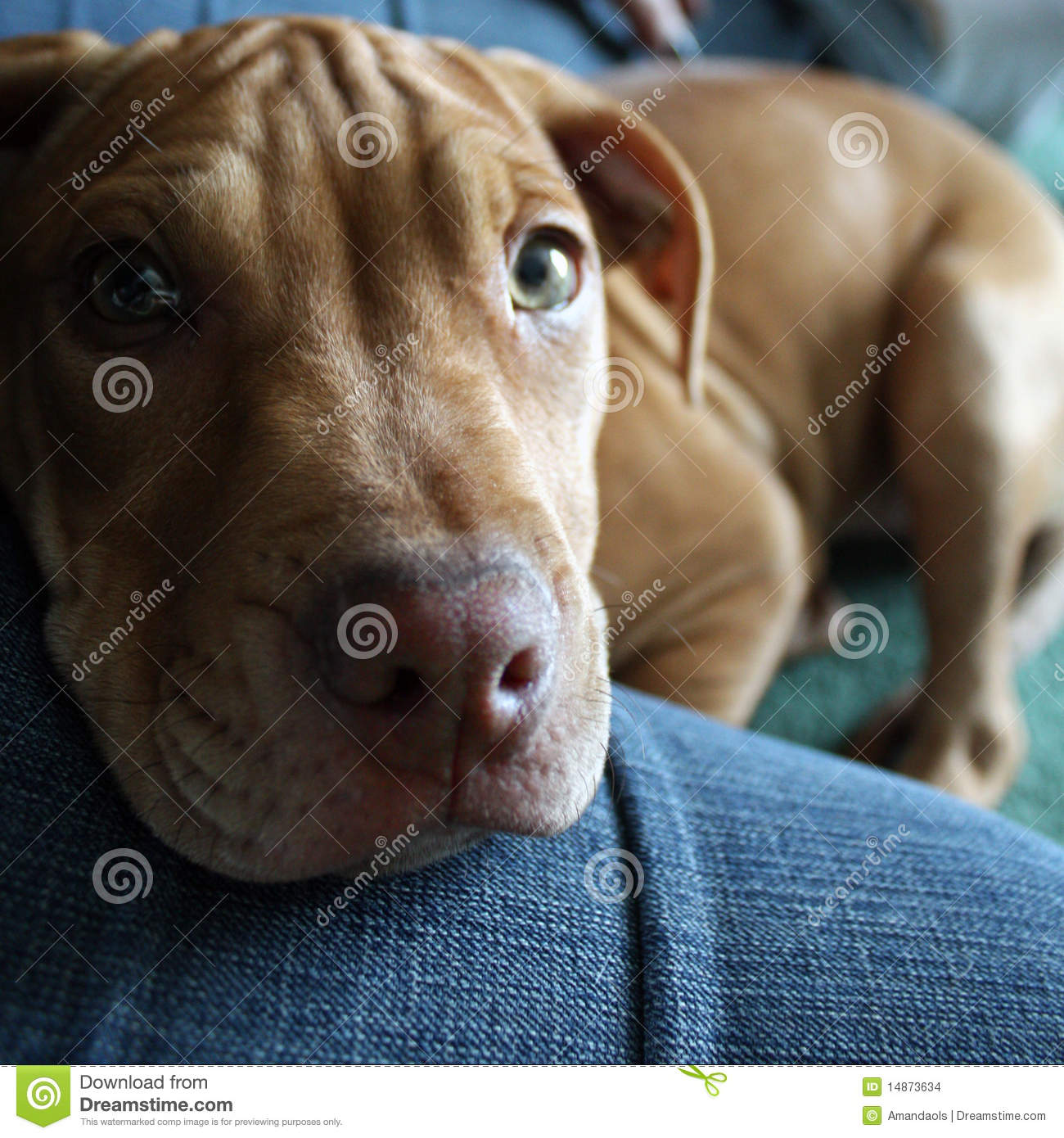 Pitbull chiot taille adulte