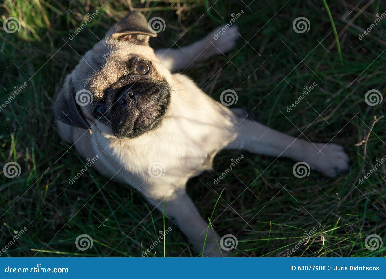 Download Chiot De Roquet Se Reposant Sur L'herbe Dehors Photo stock - Image du pedigreed, ombre: 63077908
