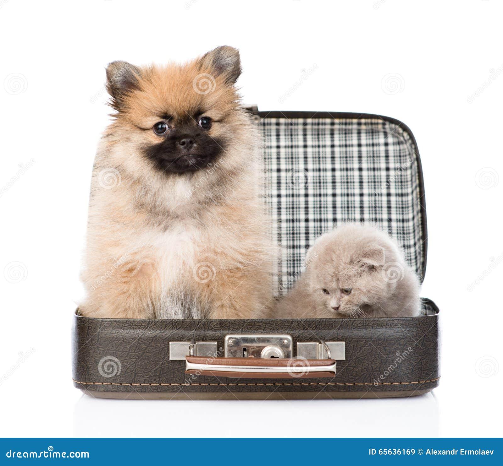 Chiot de Spitz et chaton écossais se reposant dans un sac D isolement