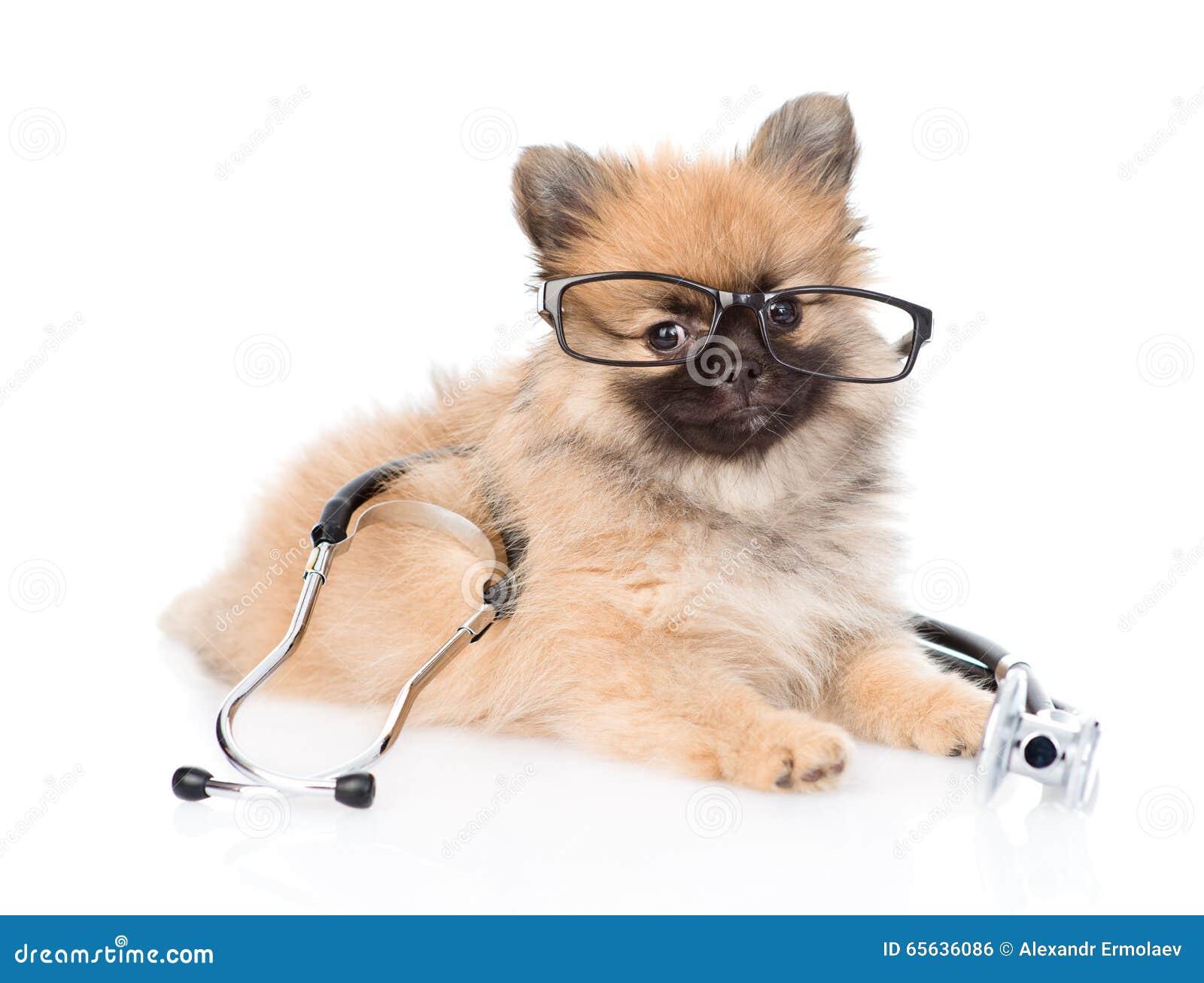 Chiot de Spitz se trouvant avec les verres et le stéthoscope sur son cou D isolement sur le blanc