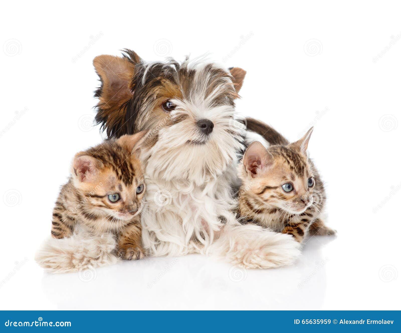 Chiot de terrier de Biewer-Yorkshire et deux chatons du Bengale D isolement