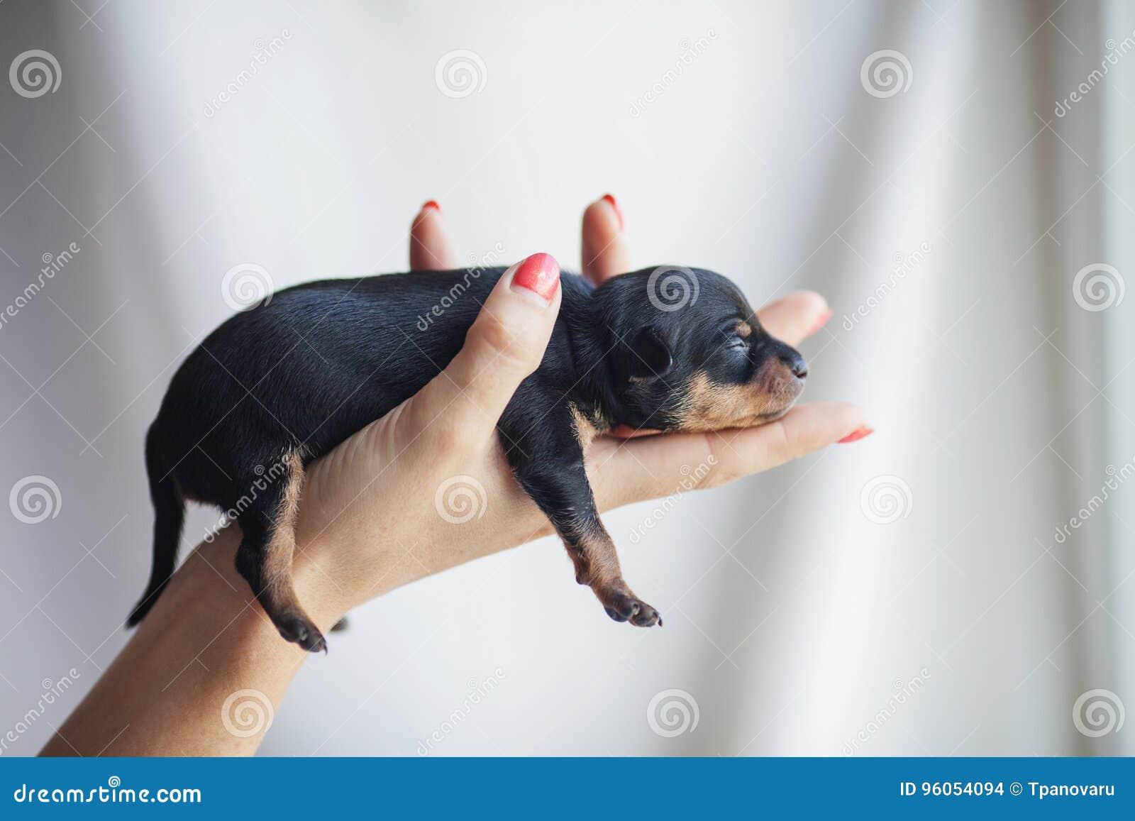 Chiot de terrier de jouet