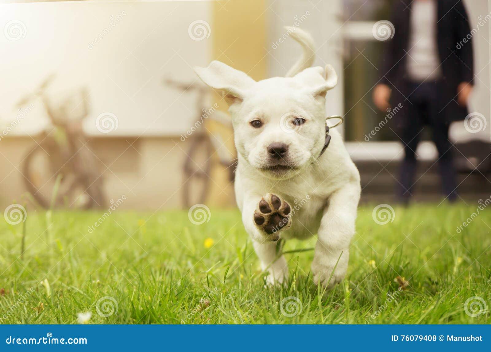 Chiot doux de Labrador dans le pré dans le mouvement montrant des pattes de chien