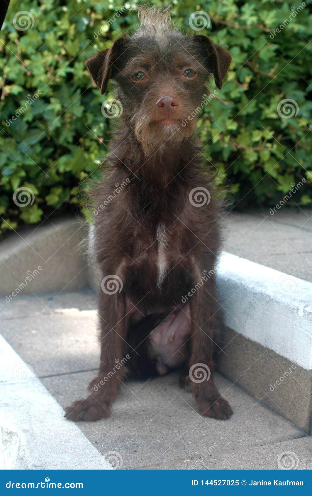 Chiot femelle d une chevelure de race de mélange de Terrier de fil brun chocolat sur des étapes