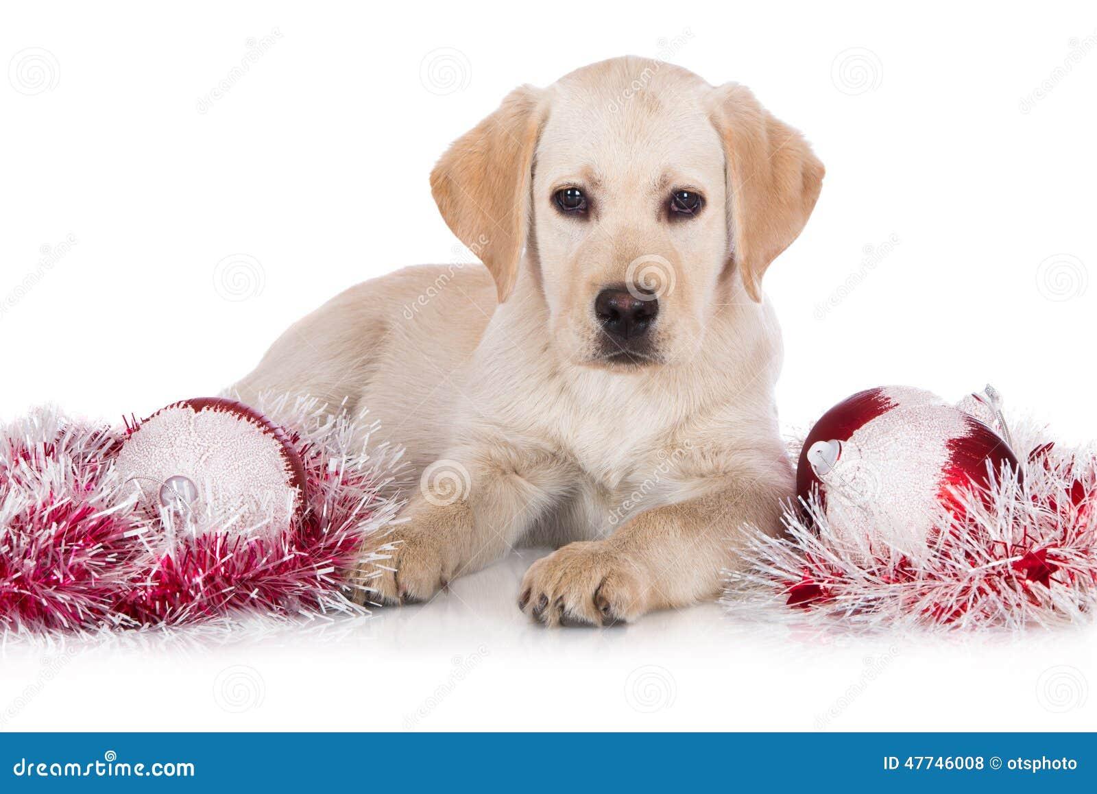 #AA213A Chiot Jaune De Labrador Avec Des Décorations De Noël Photo  5881 décoration de noel jaune 1300x958 px @ aertt.com