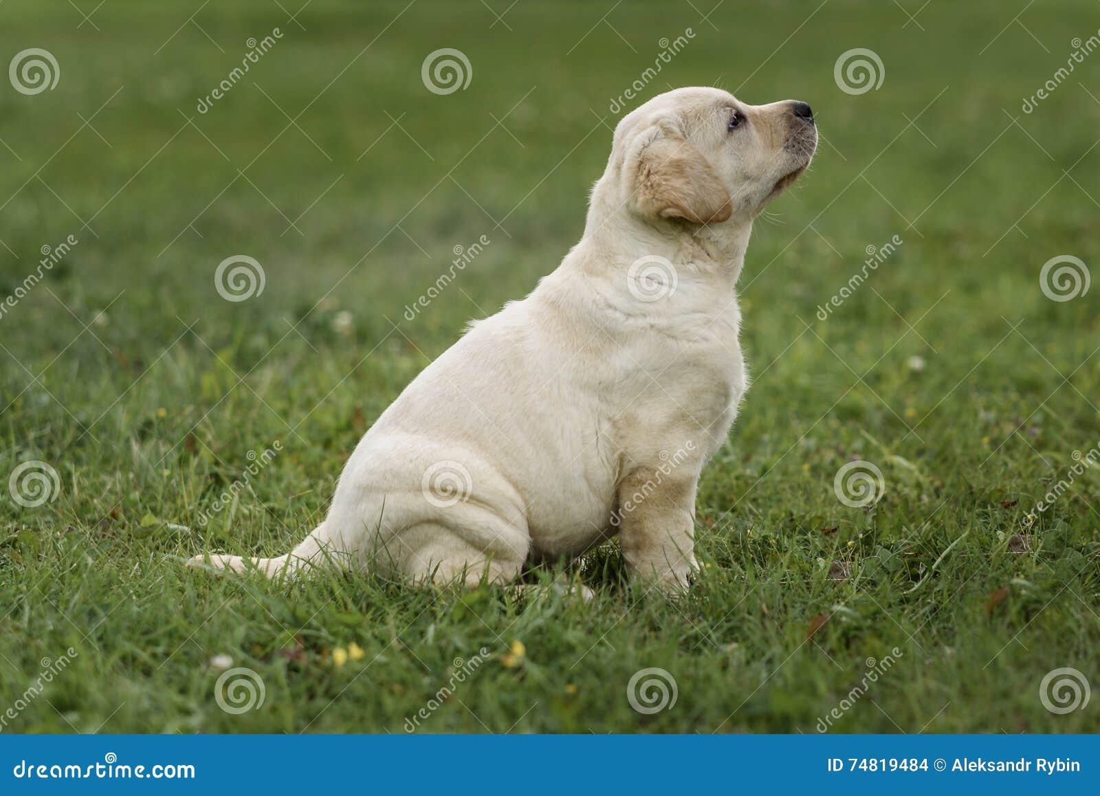 Chiot jaune mignon labrador retriever sur le fond de l herbe verte