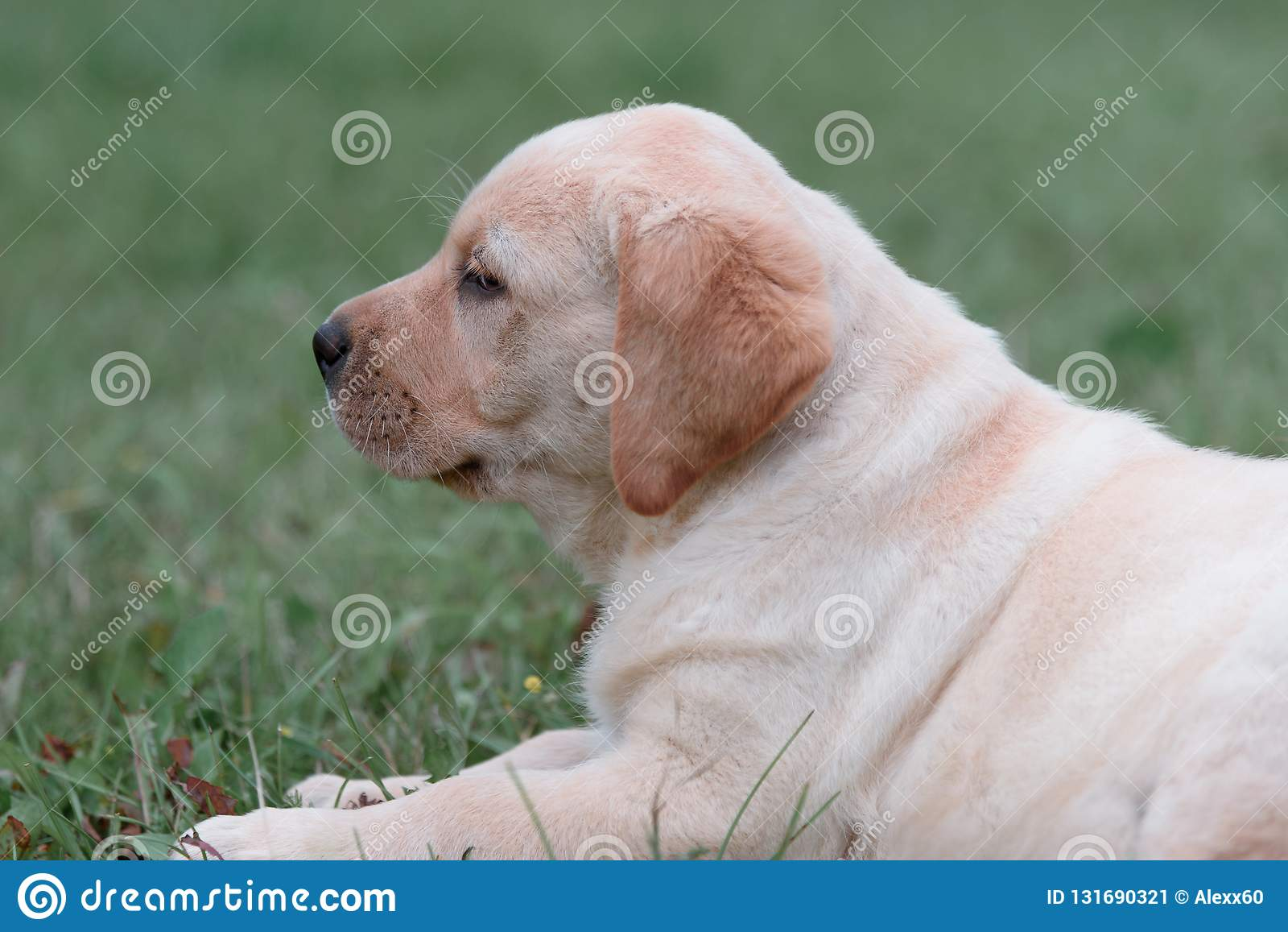 Chiot jaune mignon labrador retriever sur un fond d herbe verte