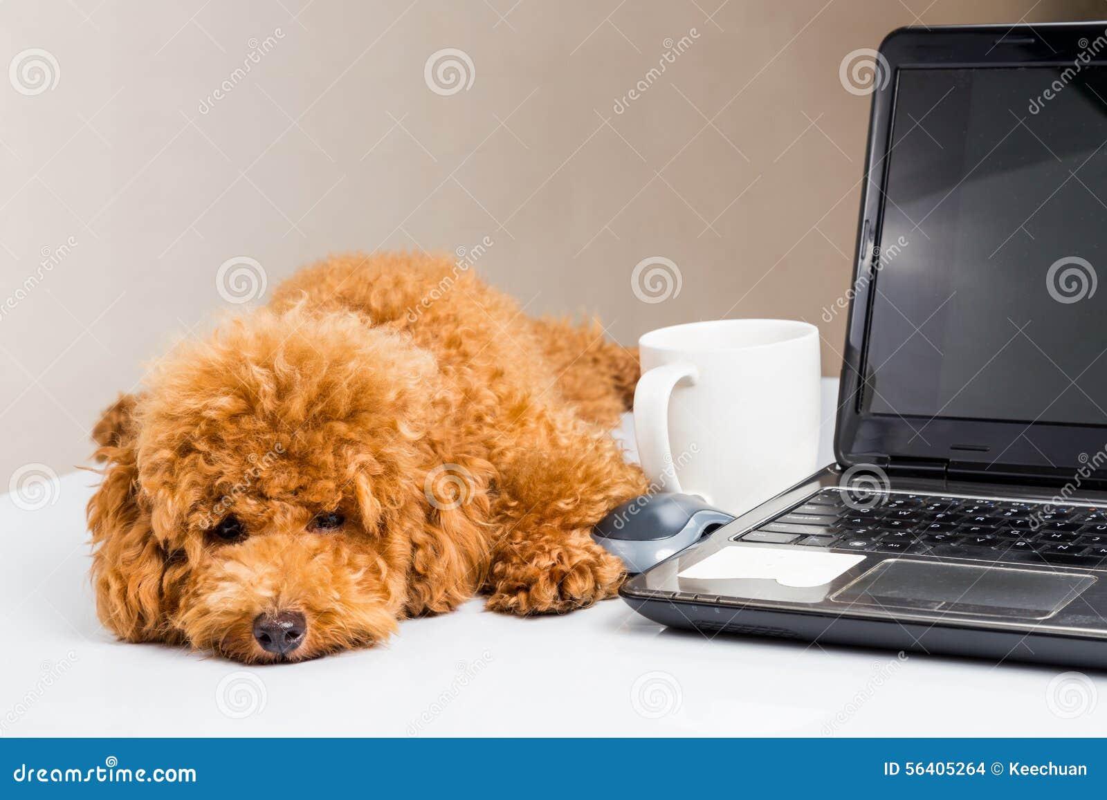 Chiot mignon de caniche se reposant sur le bureau avec l ordinateur portable