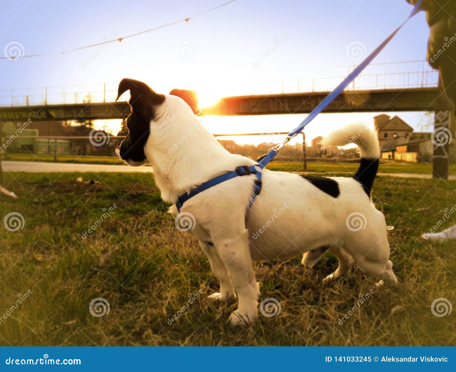 Chiot mignon de Jack Russell avec le coucher du soleil à l arrière-plan