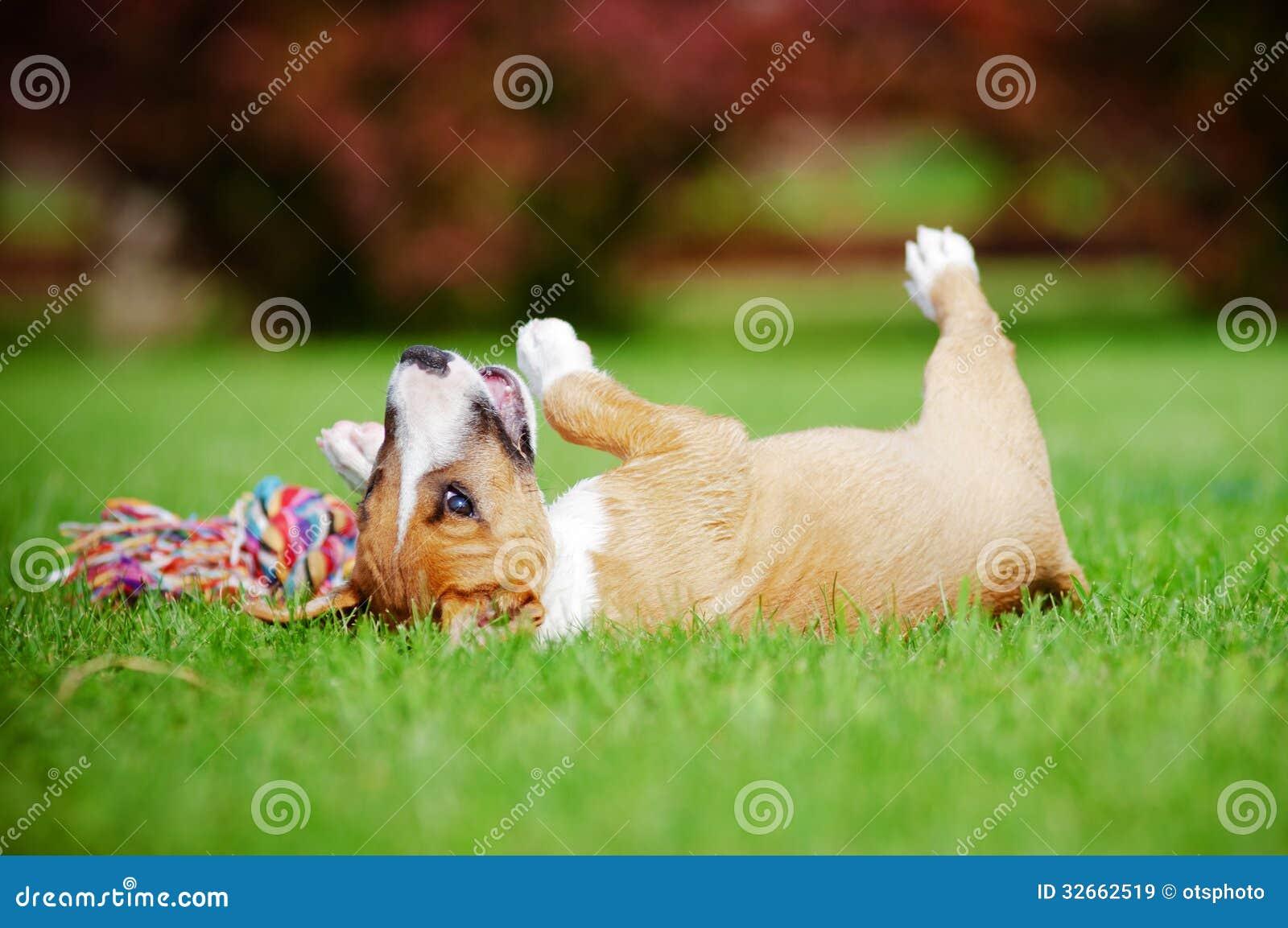 Chiot miniature rouge de bull-terrier