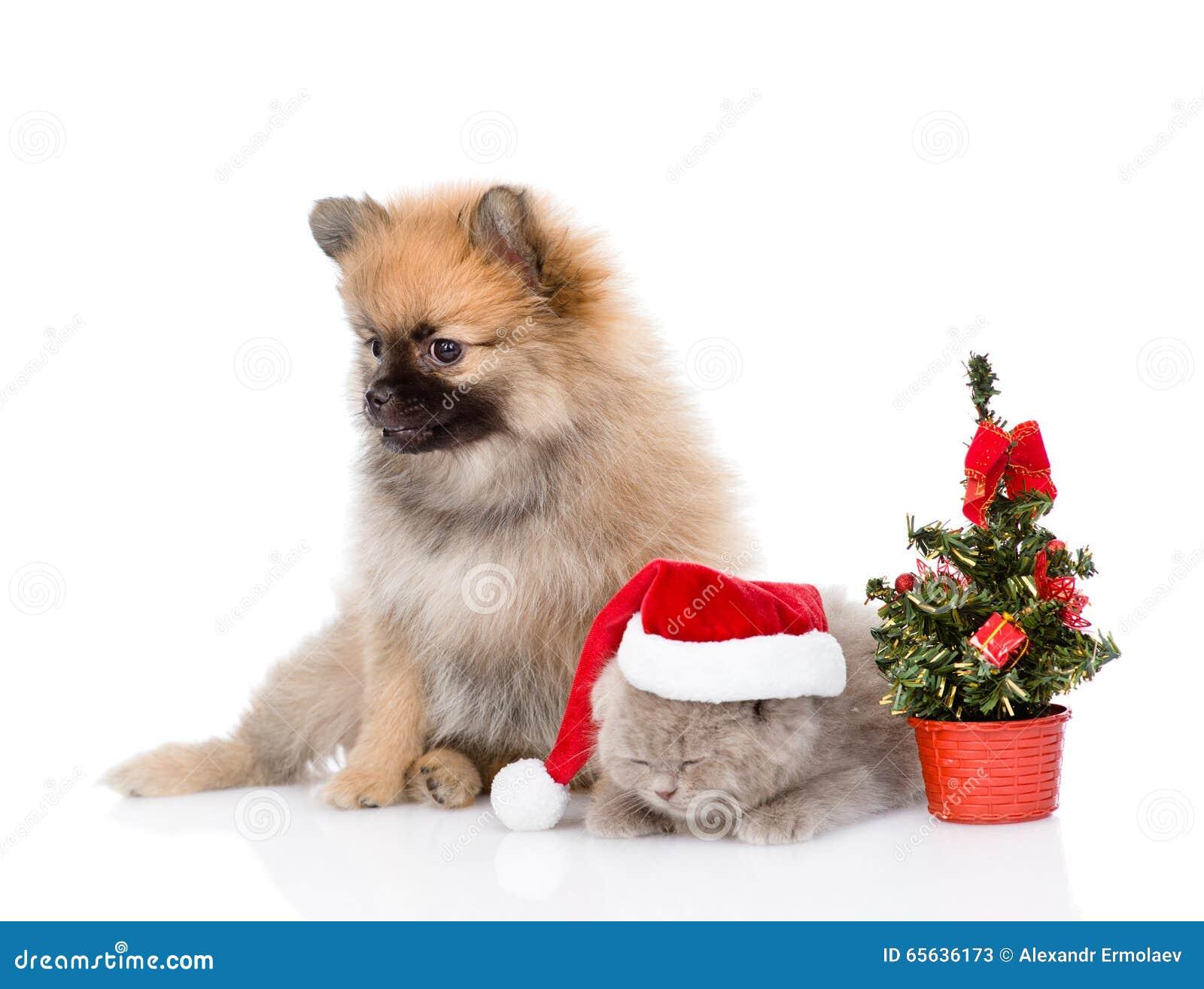 Chiot minuscule de spitz et chaton écossais avec l arbre de chapeau et de Noël de Santa D isolement sur le blanc