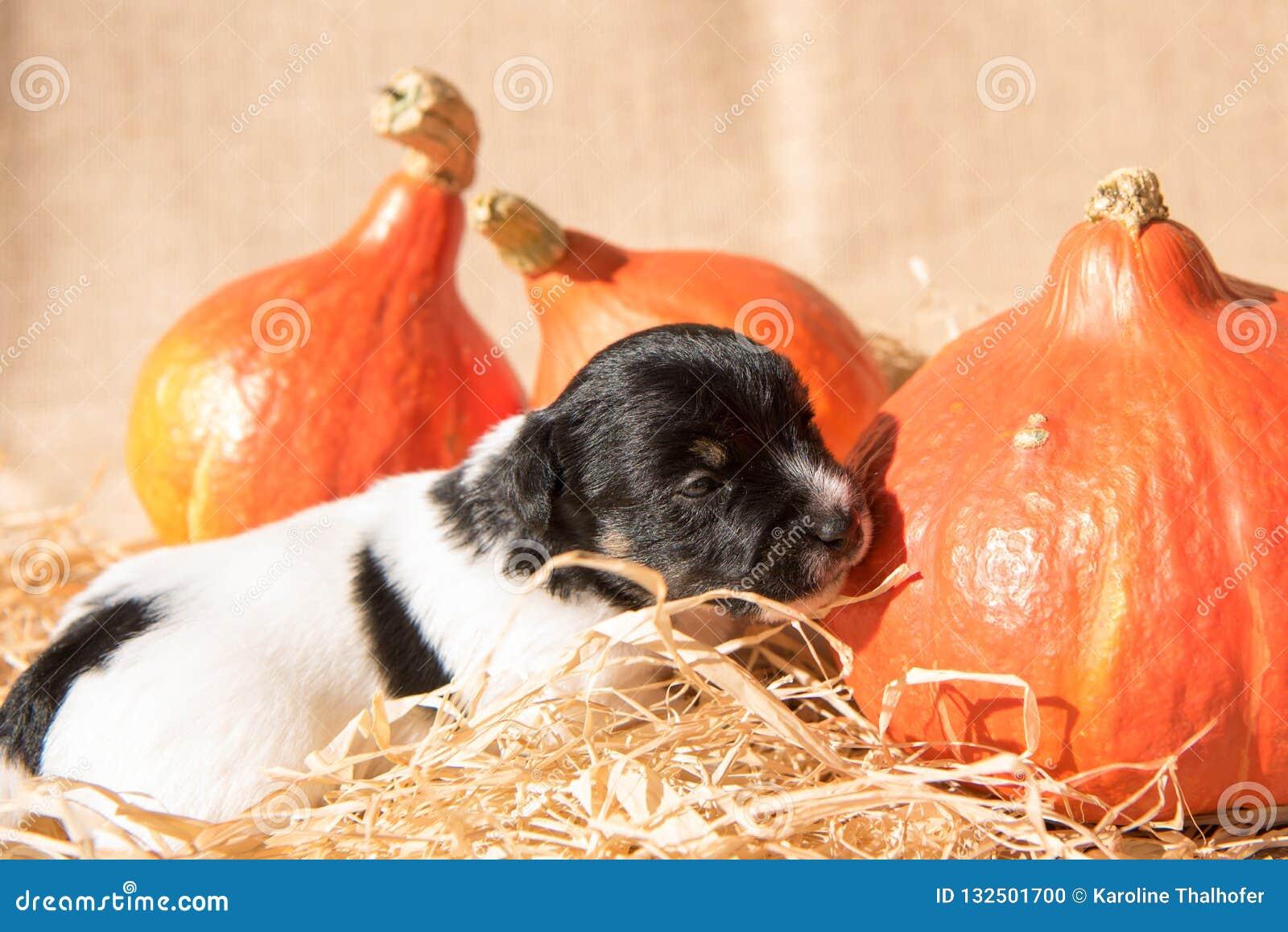 Chiot nouveau-né de Jack Russell Terrier avec le potiron