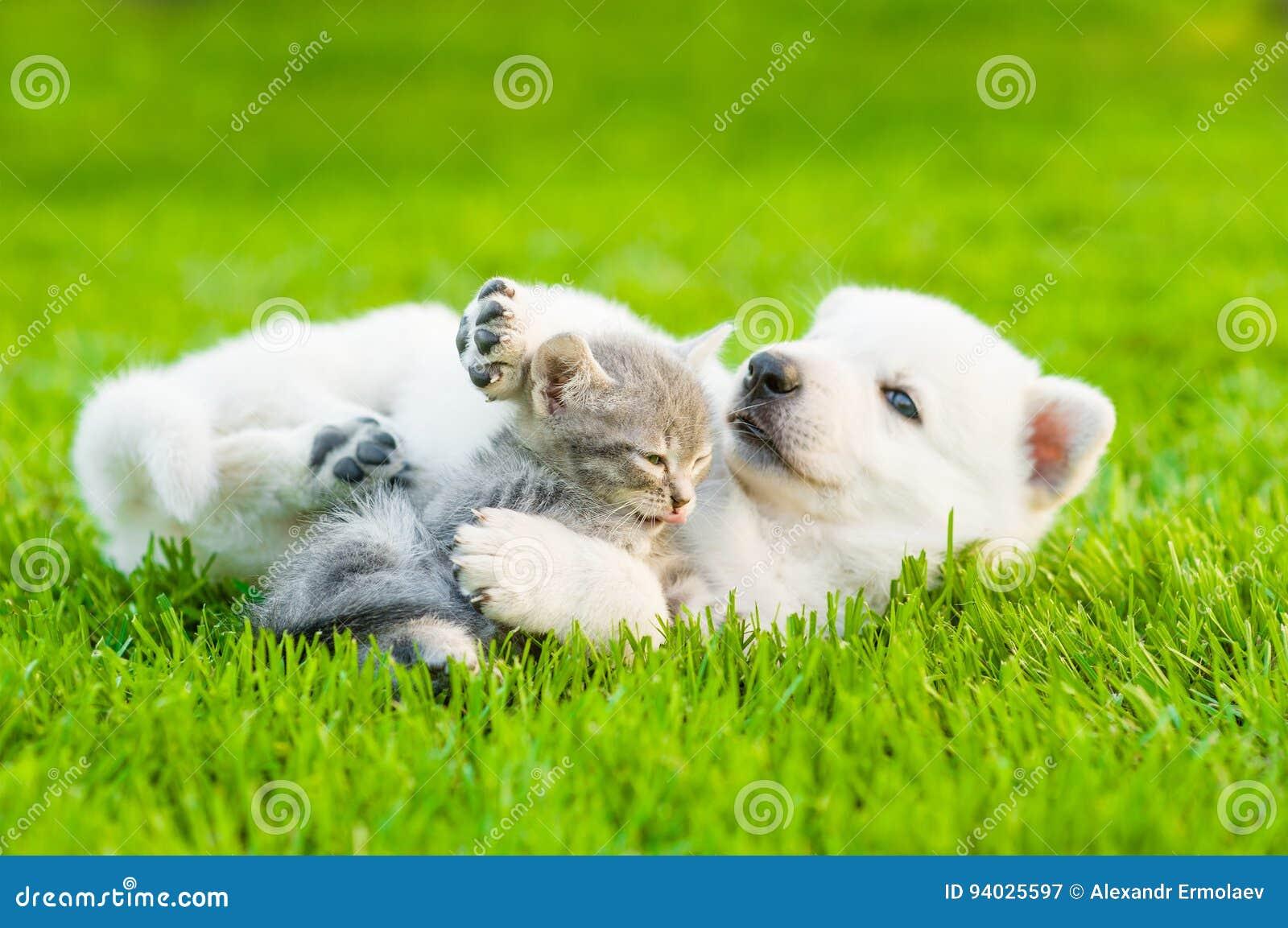 chiot suisse blanc du s de berger jouant avec le chaton minuscule sur l 39 herbe verte image. Black Bedroom Furniture Sets. Home Design Ideas