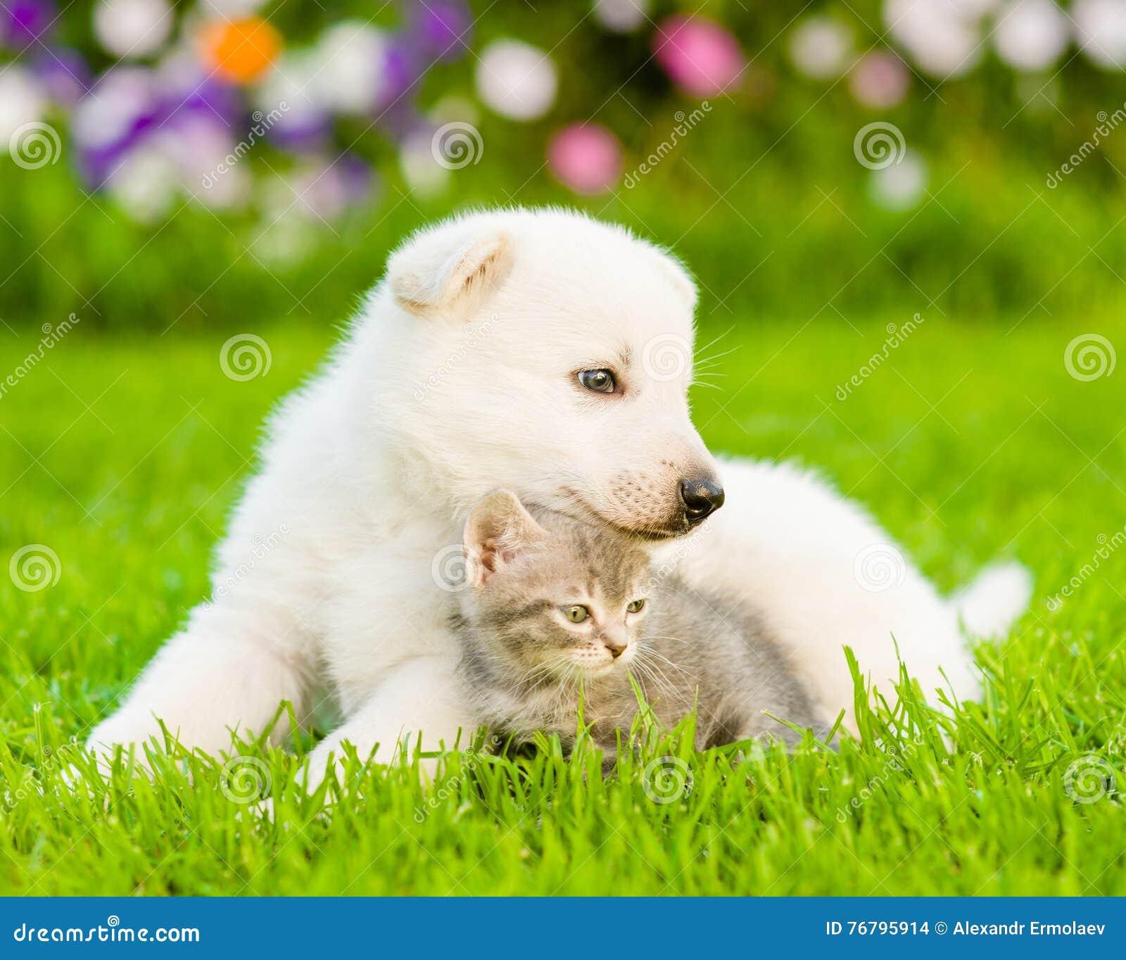 chiot suisse blanc du s de berger se trouvant avec le chaton sur l 39 herbe verte photo stock. Black Bedroom Furniture Sets. Home Design Ideas