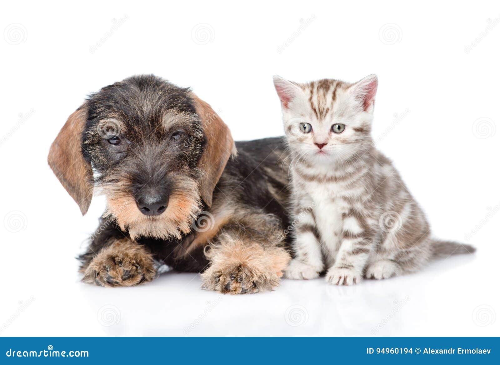 Chiot wirehaired de teckel et chaton minuscule ensemble D isolement sur le blanc