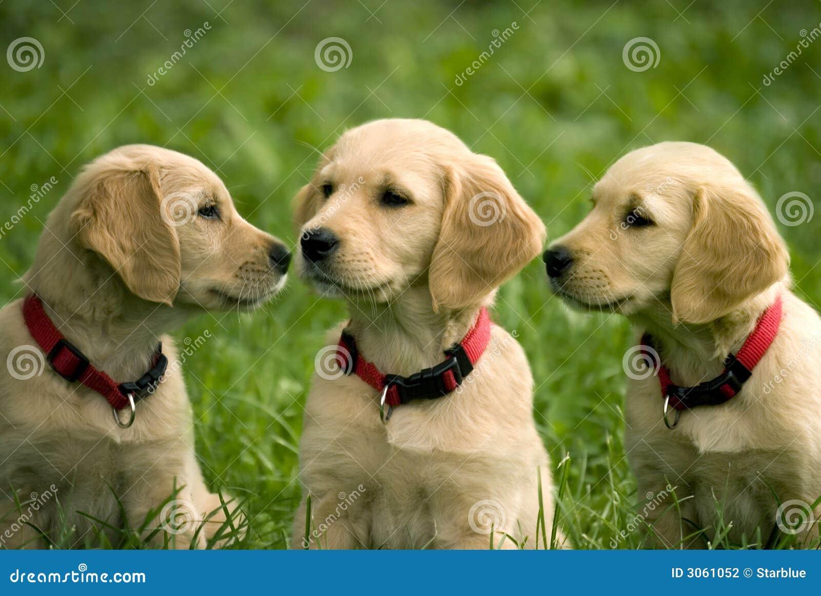 Chiots de chien d arrêt d or