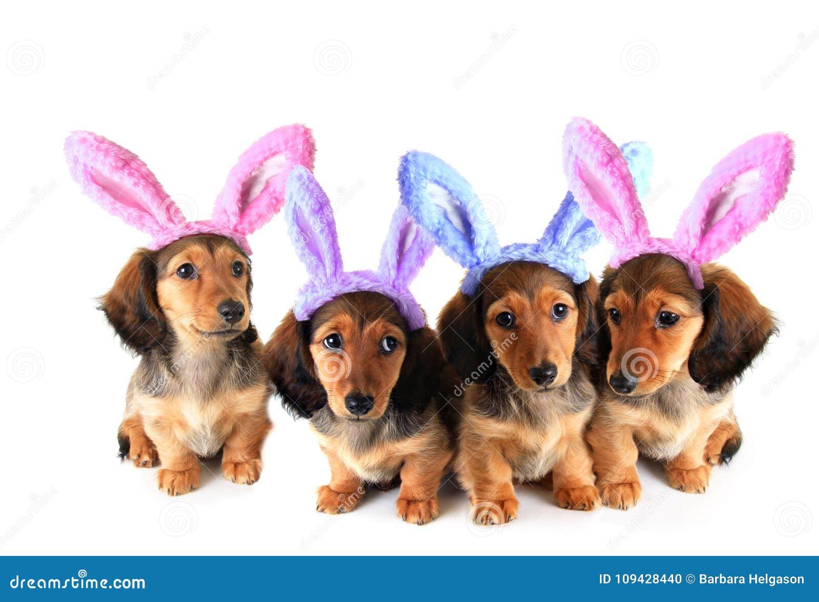 Chiots de teckel de lapin de Pâques