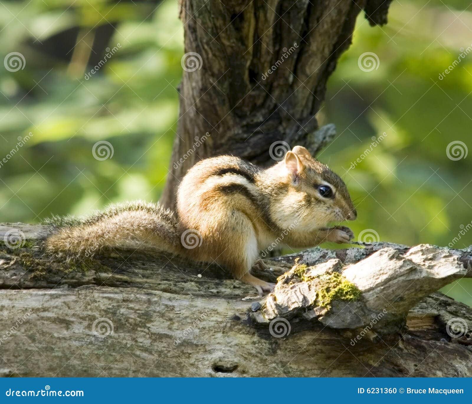 Chipmunk κούτσουρο