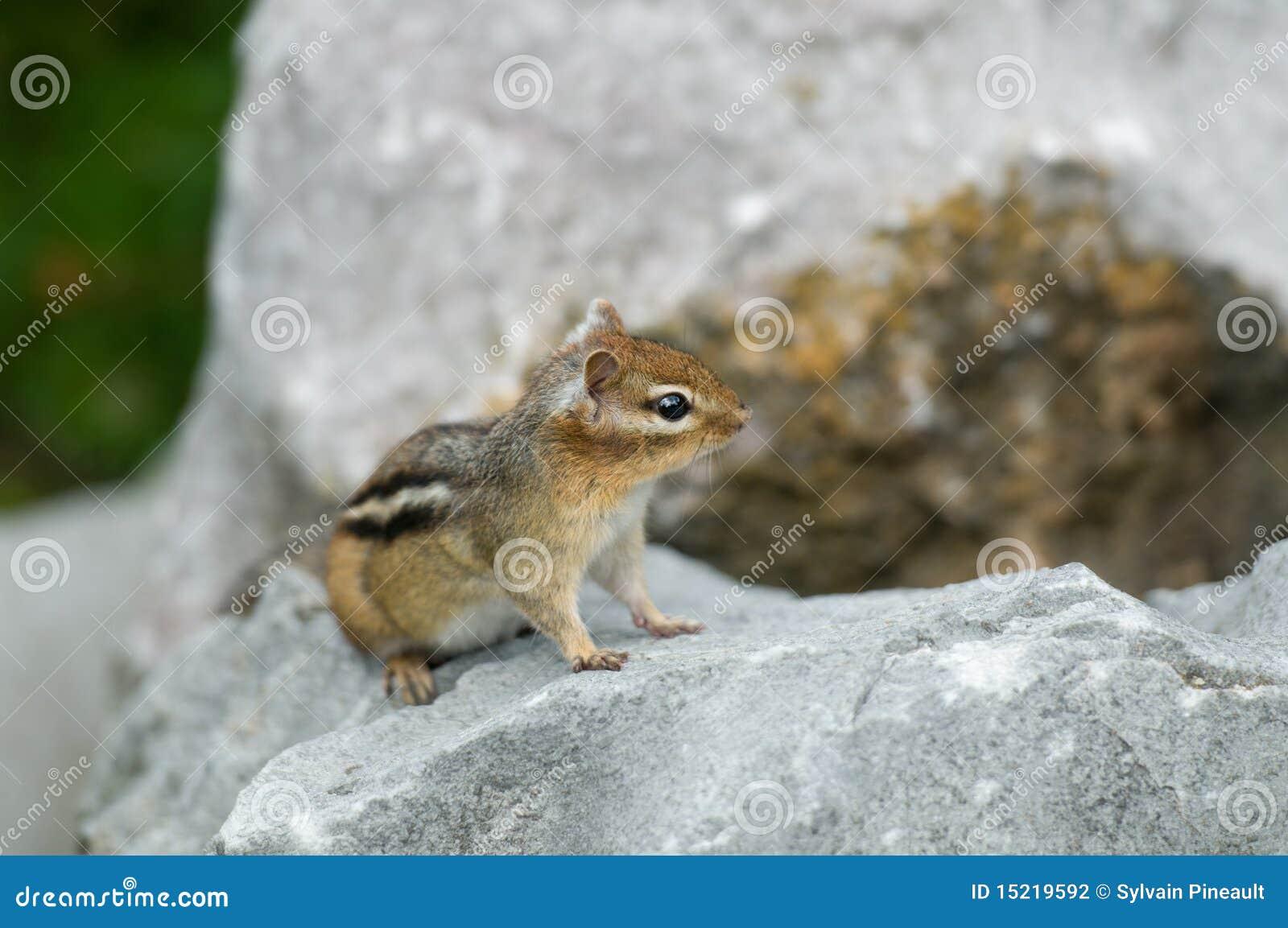 Chipmunk μικρός