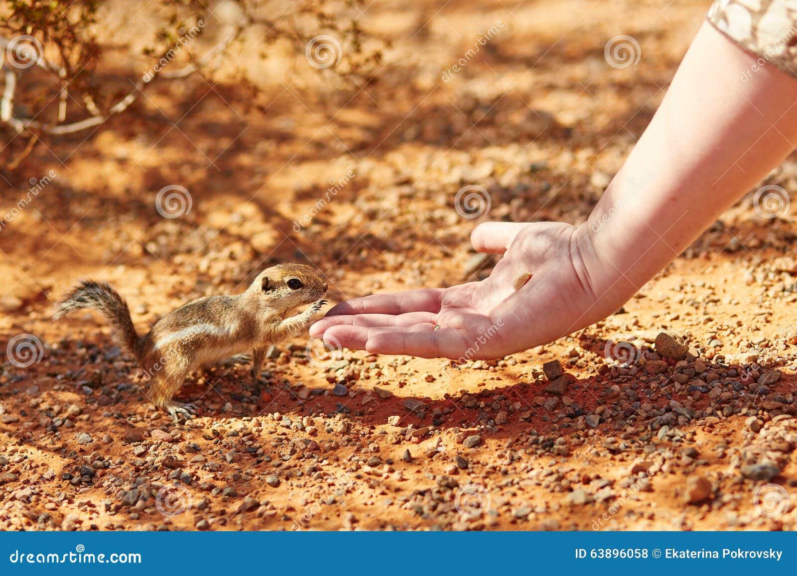 Chipmunk που παίρνει το καρύδι από το χέρι μιας γυναίκας