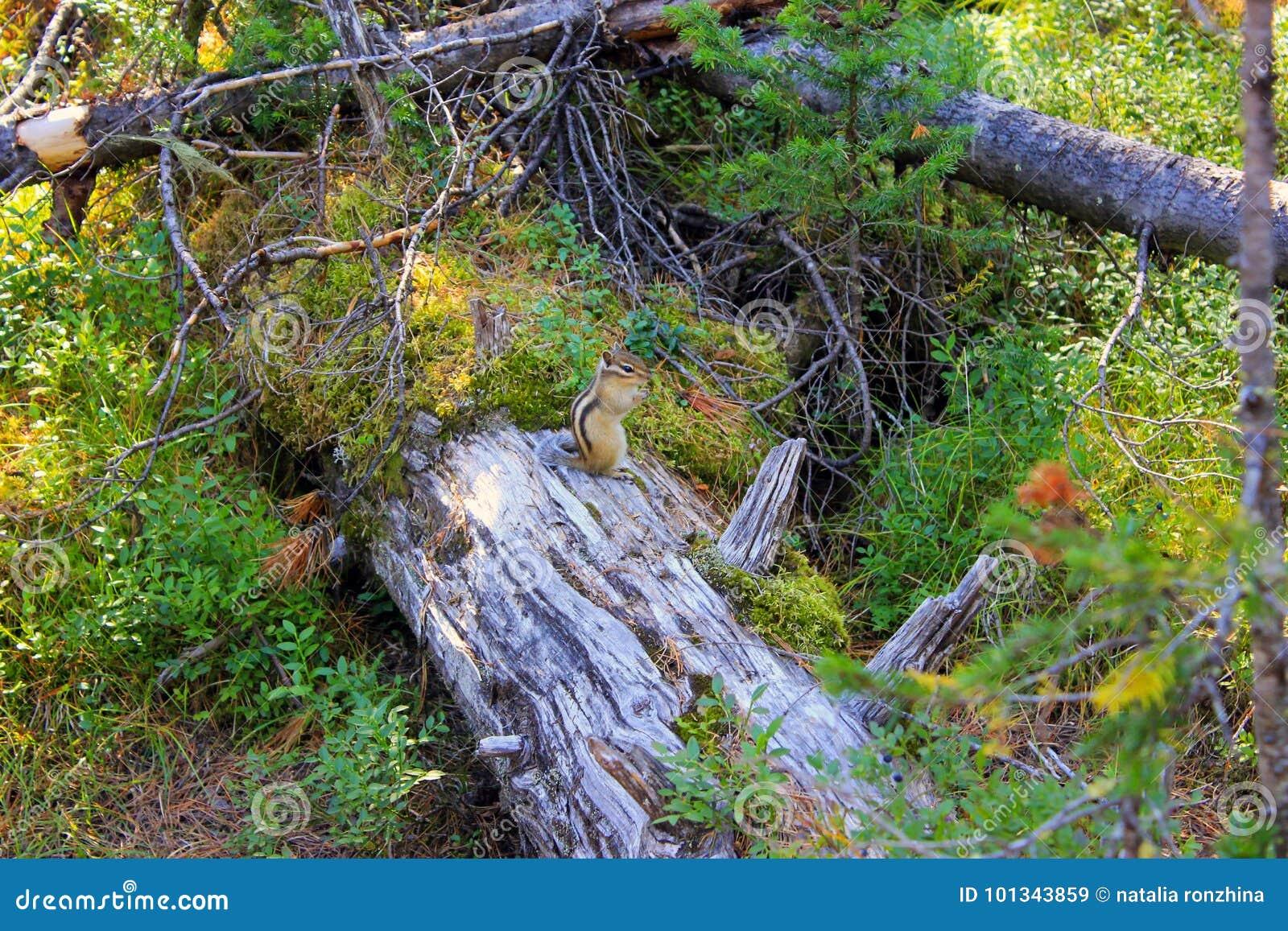 Chipmunk στα ξύλα