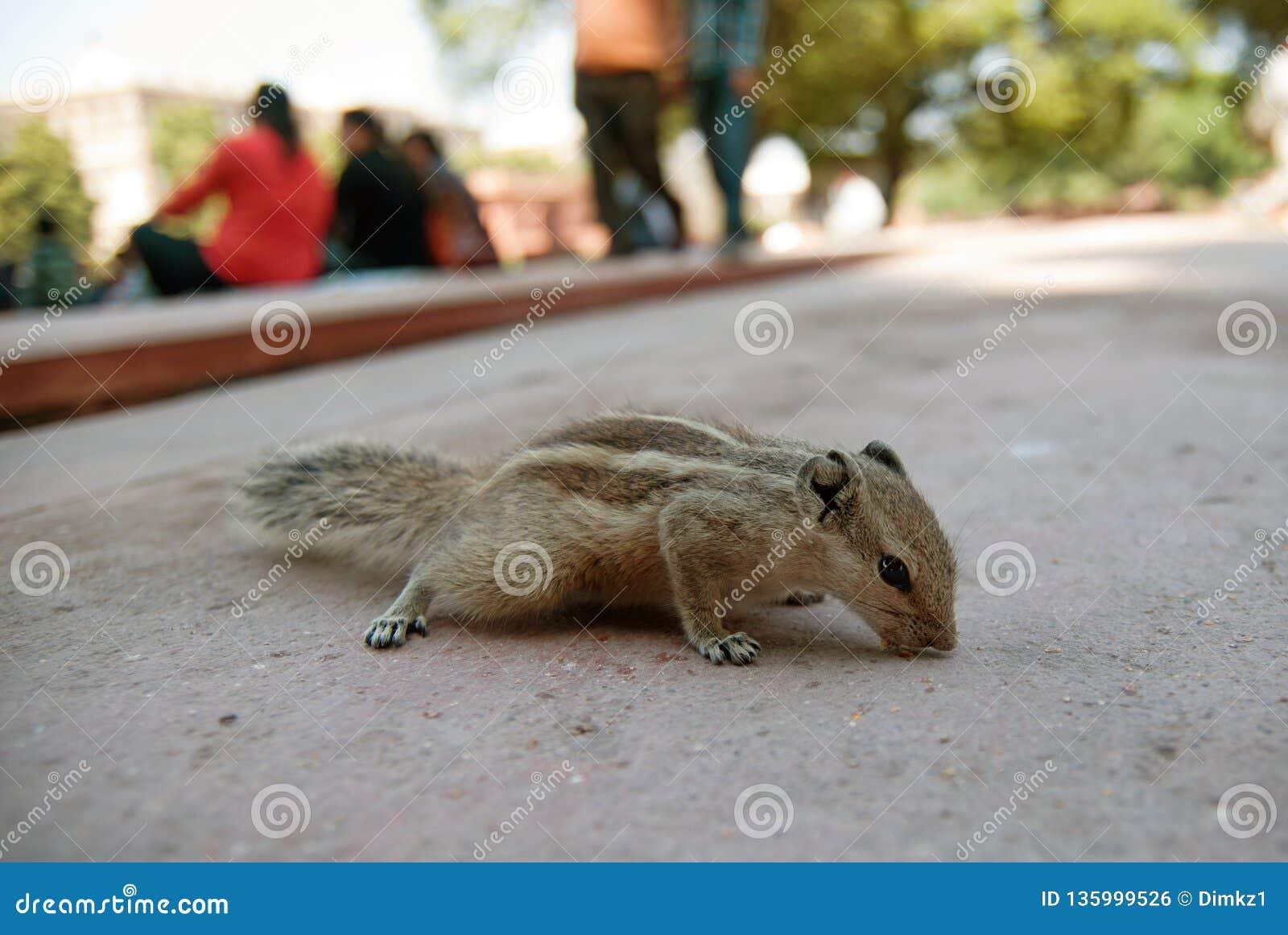 Chipmunk στο πάρκο