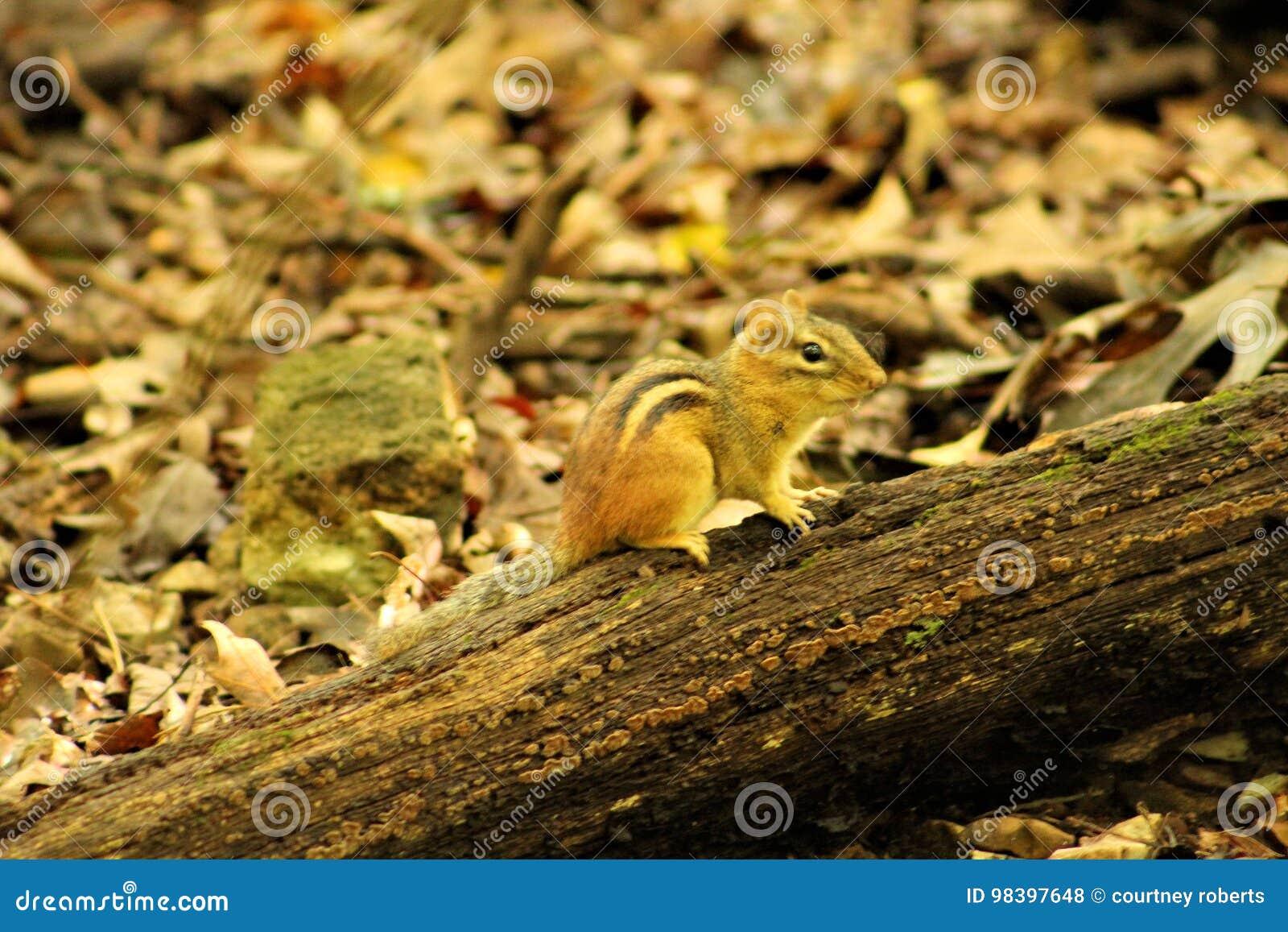 Chipmunk χαριτωμένο κούτσουρο