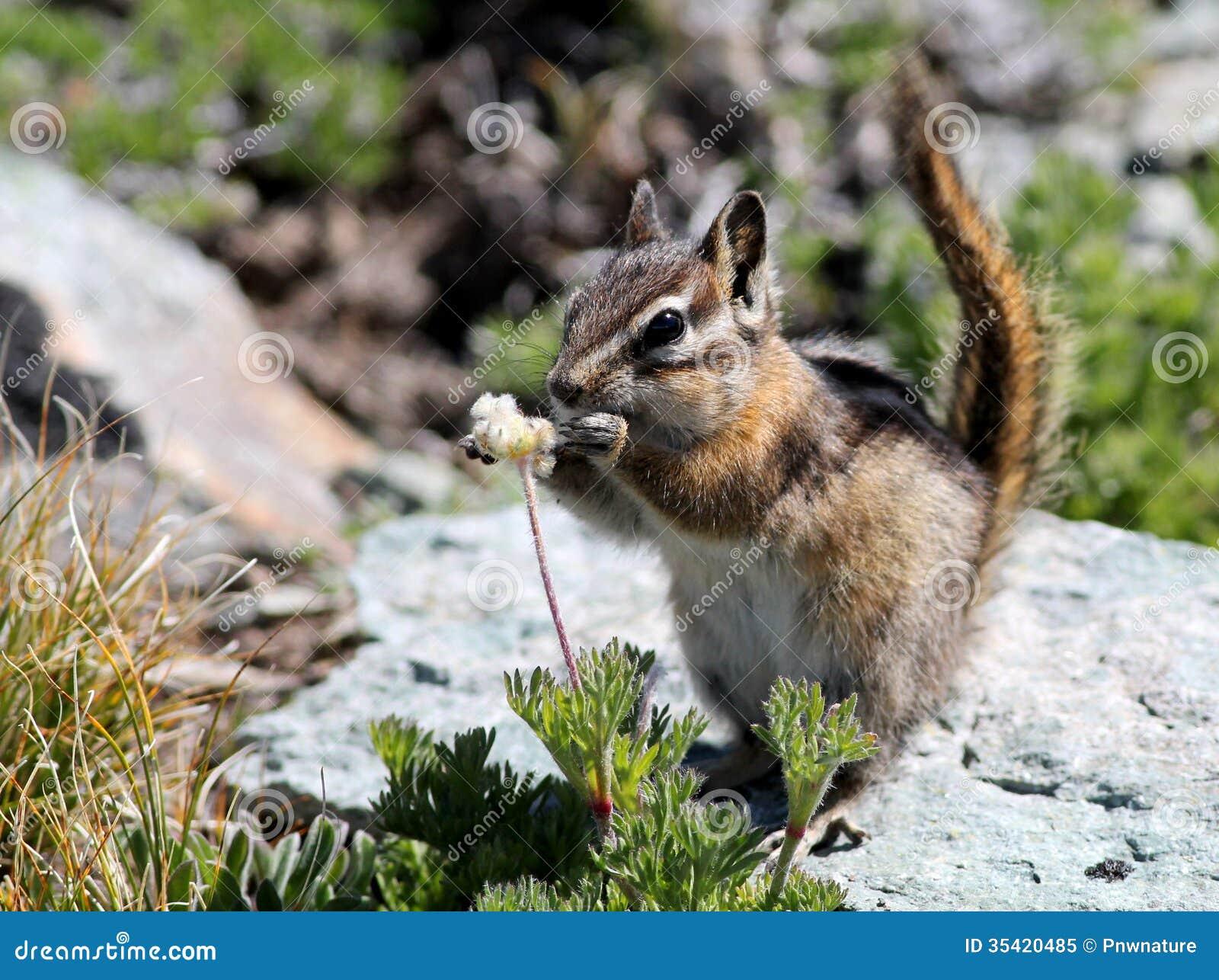 Chipmunk Eating Seeds