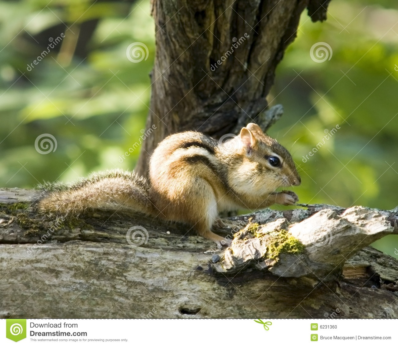Chipmunk en un registro