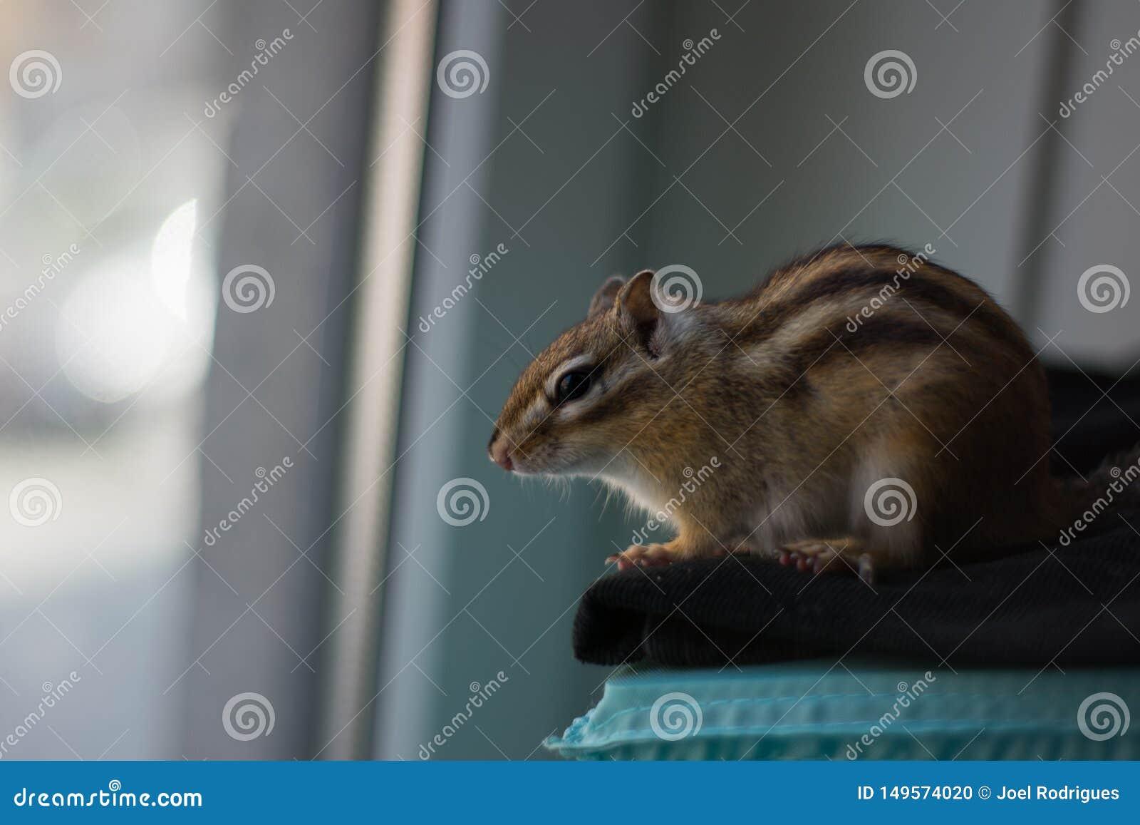 Chipmunk gapi si? z okno
