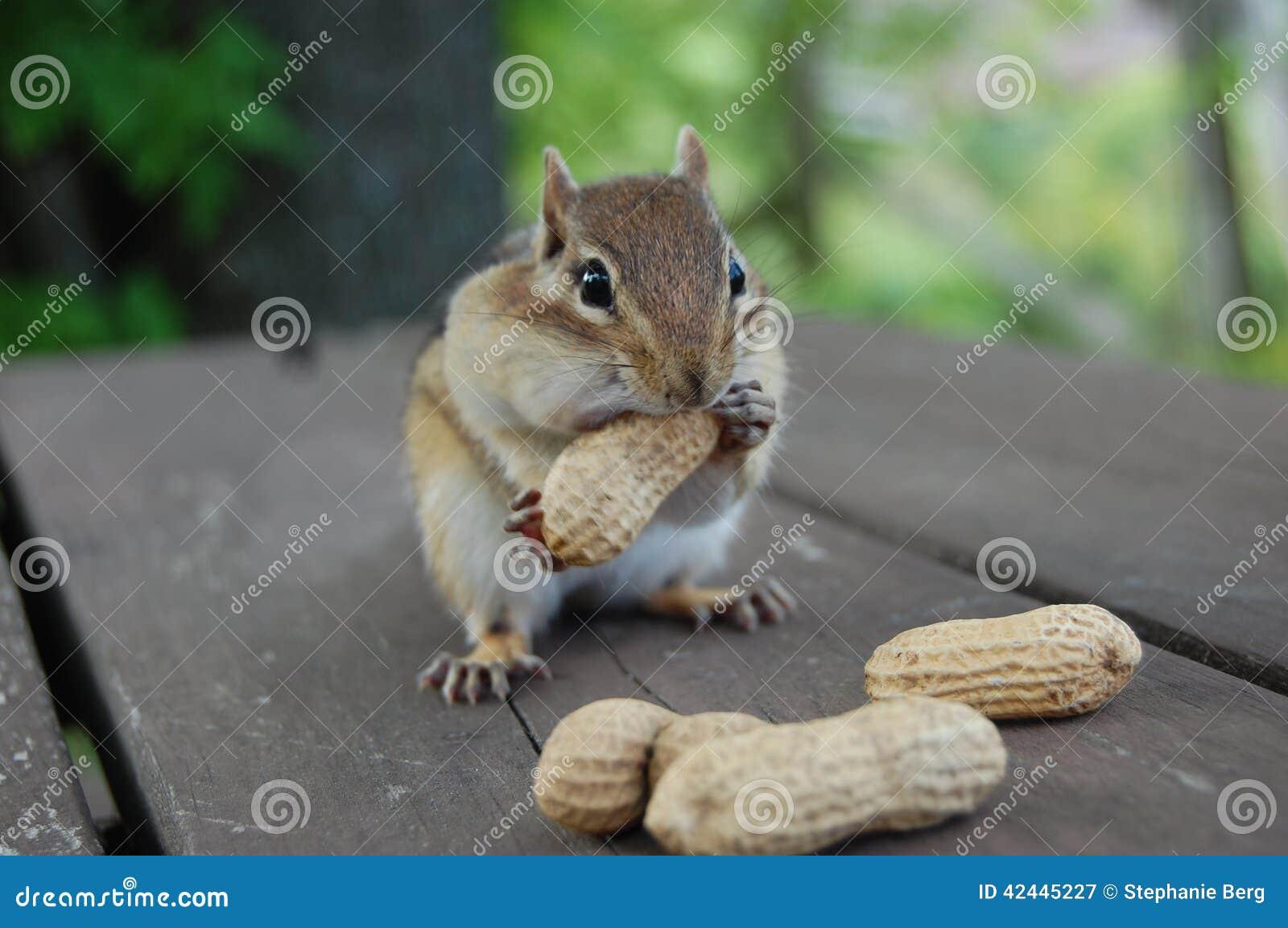 Chipmunk hambriento