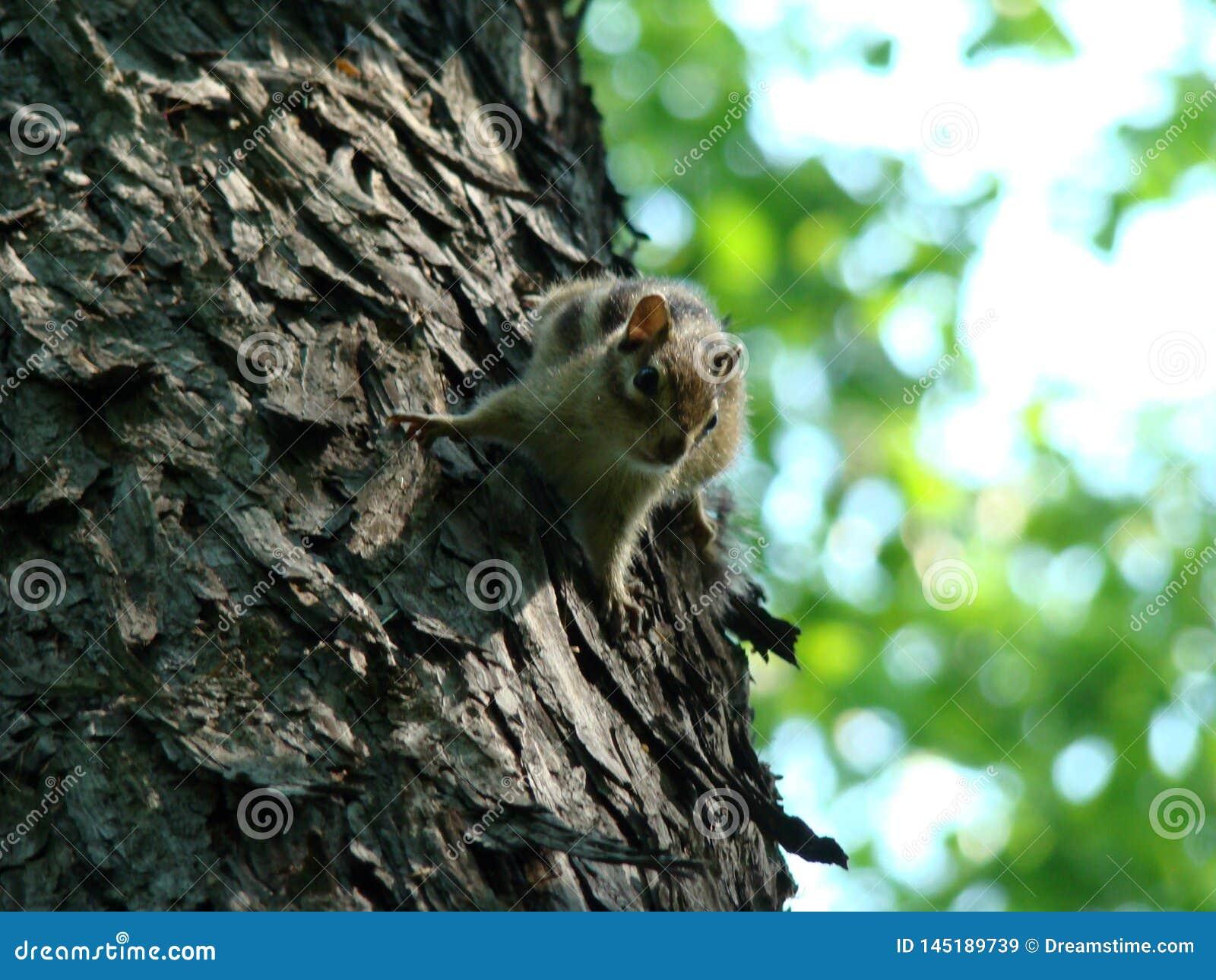 Chipmunk na drzewie