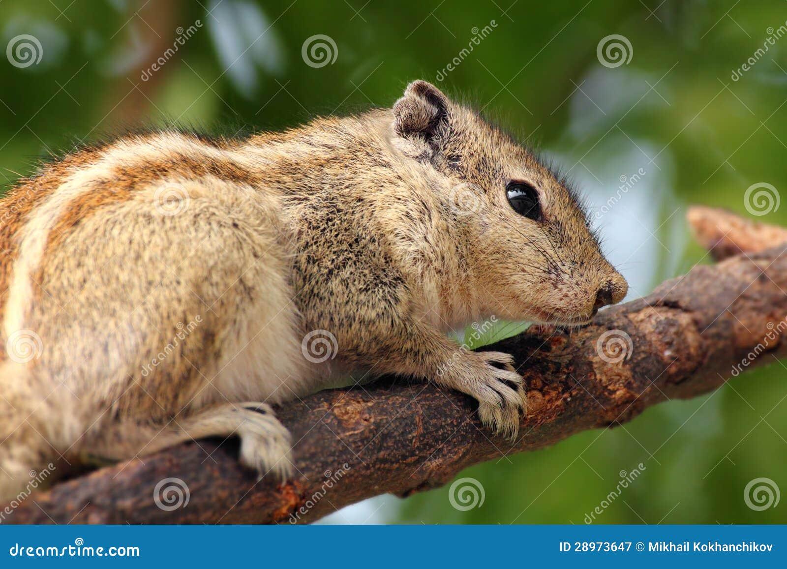 Chipmunk obsiadanie na gałąź