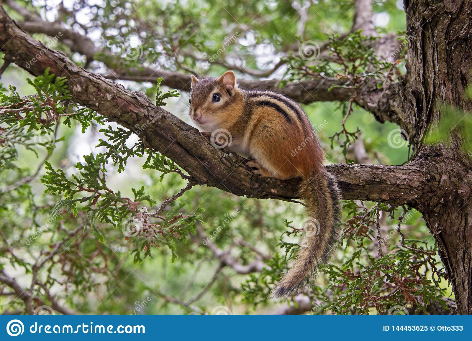 Chipmunk se reposant sur un branchement d arbre