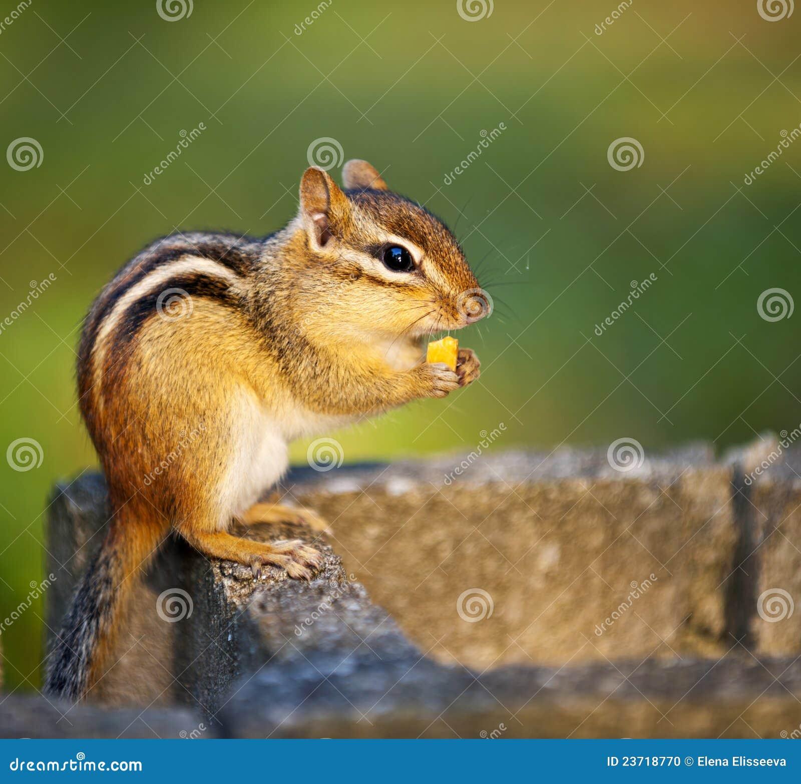 Chipmunk selvagem que come a porca