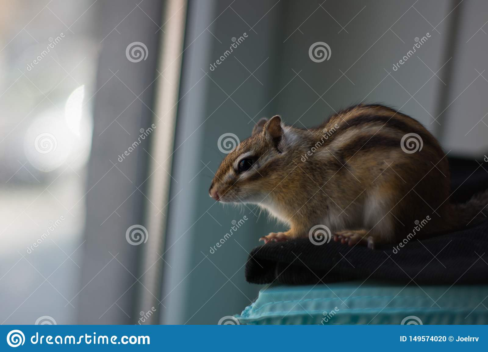 Chipmunk staring out of window