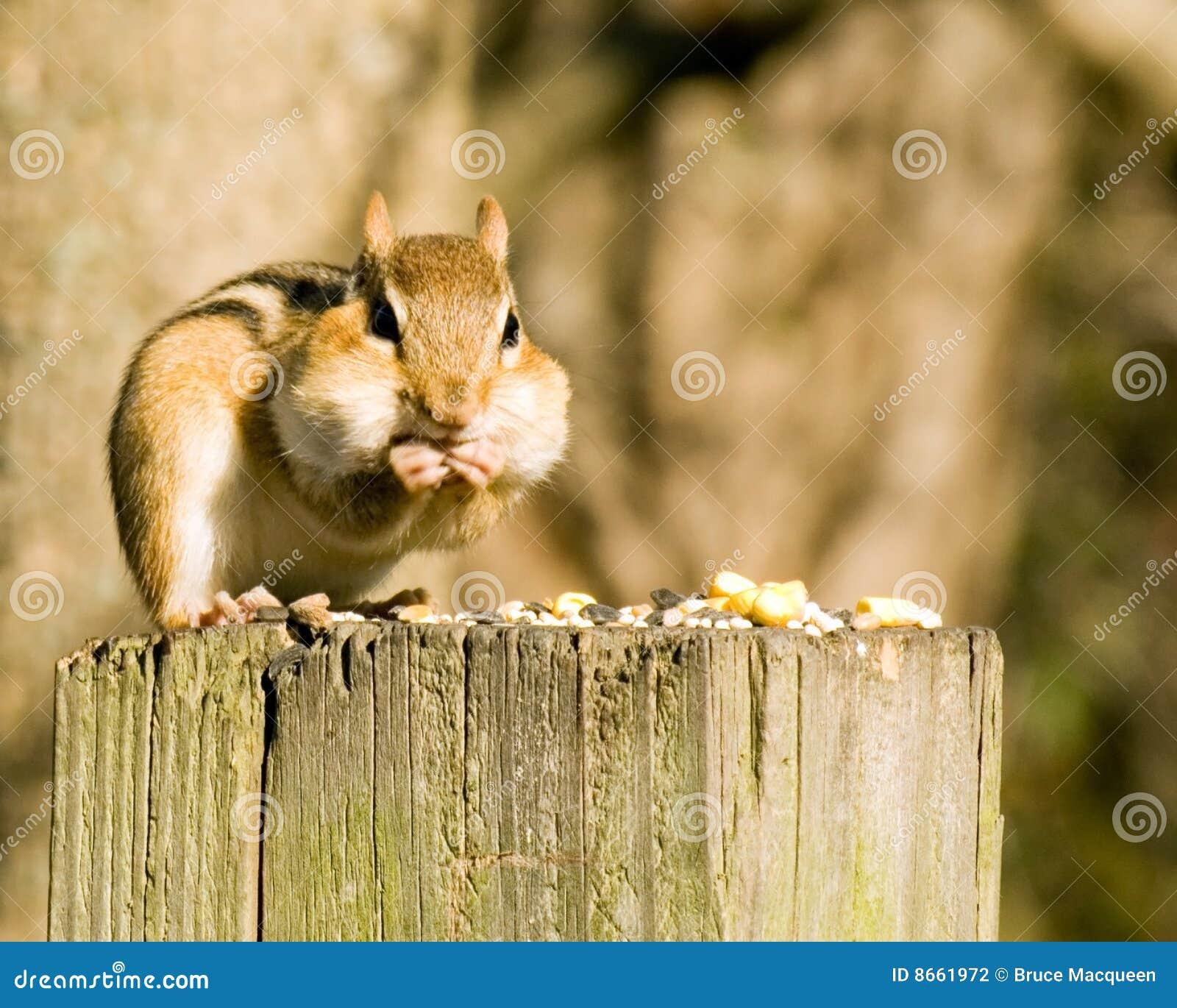 Chipmunk sur un poteau