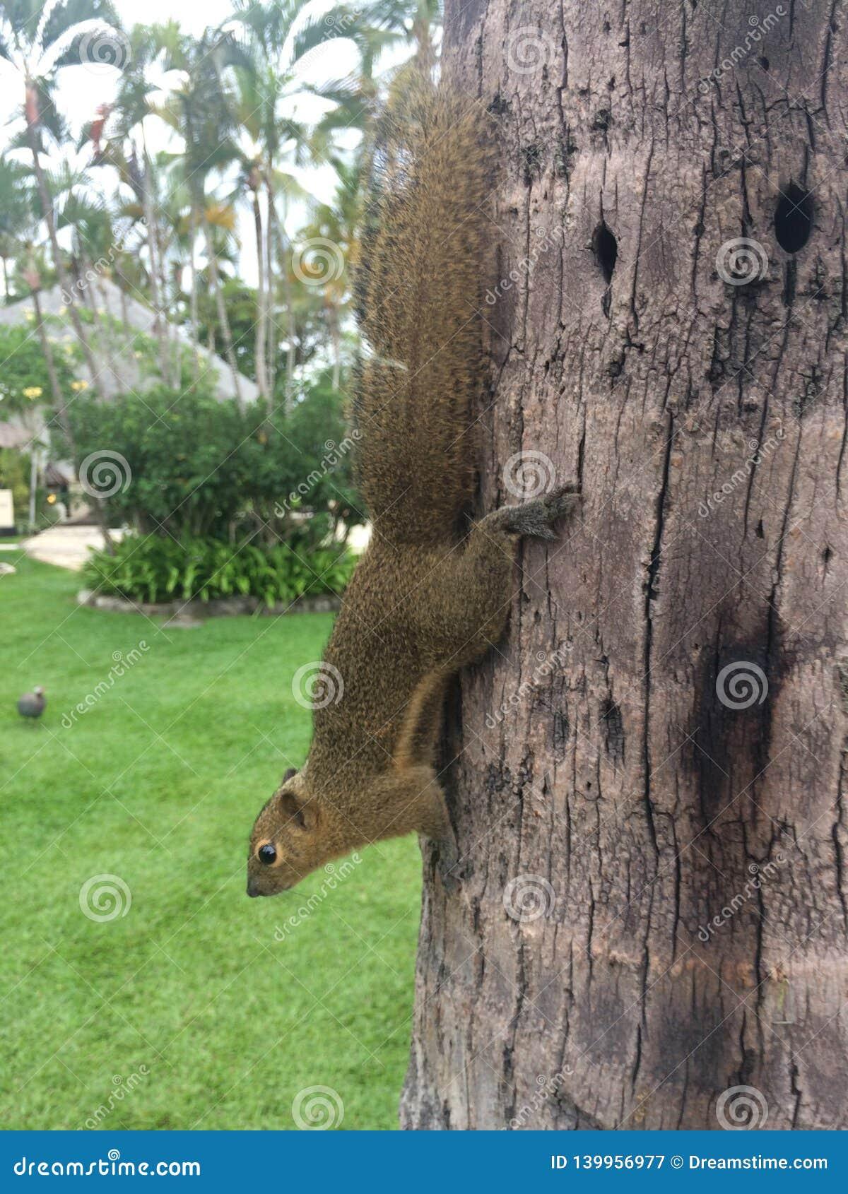 Chipmunk on the tree Bali Indonesia