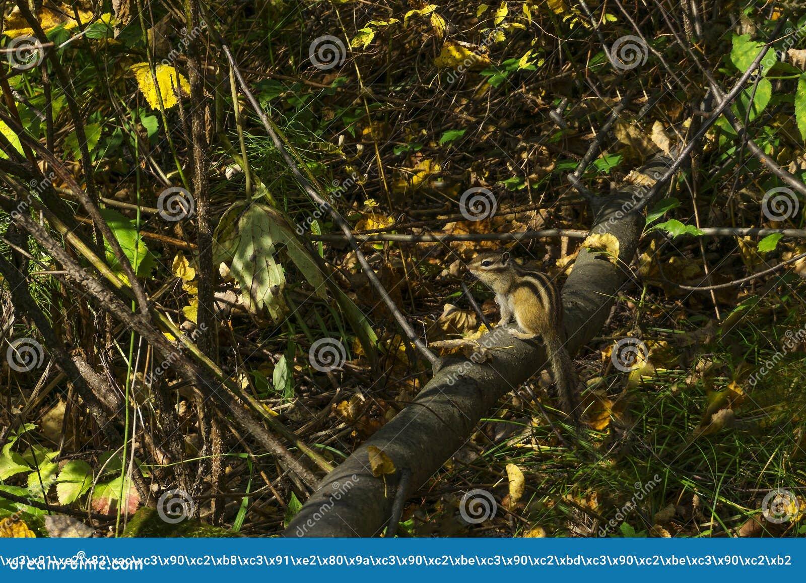 Chipmunk w jesień lesie